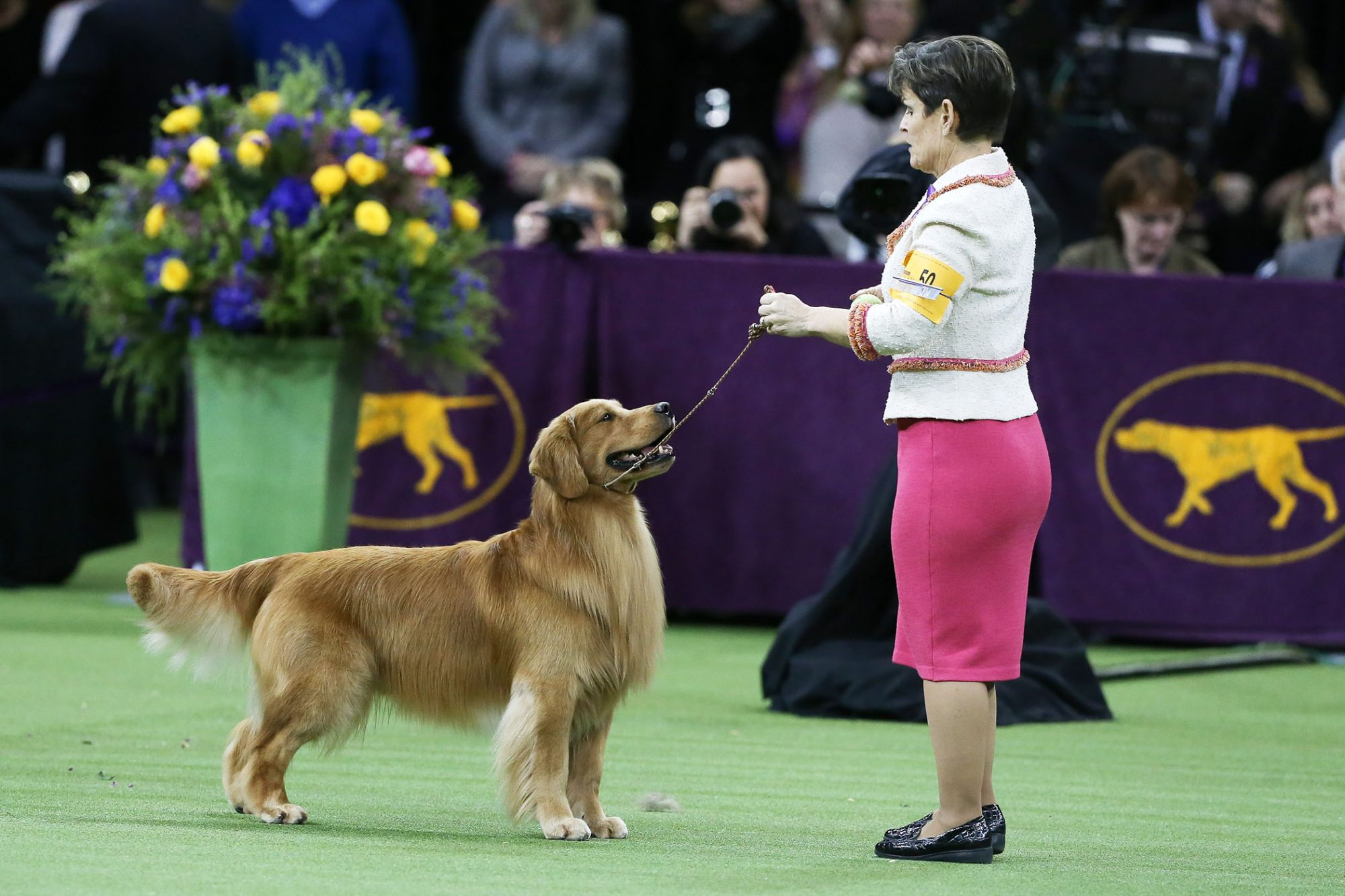 golden retriever Daniel competing at Westminster Dog Show
