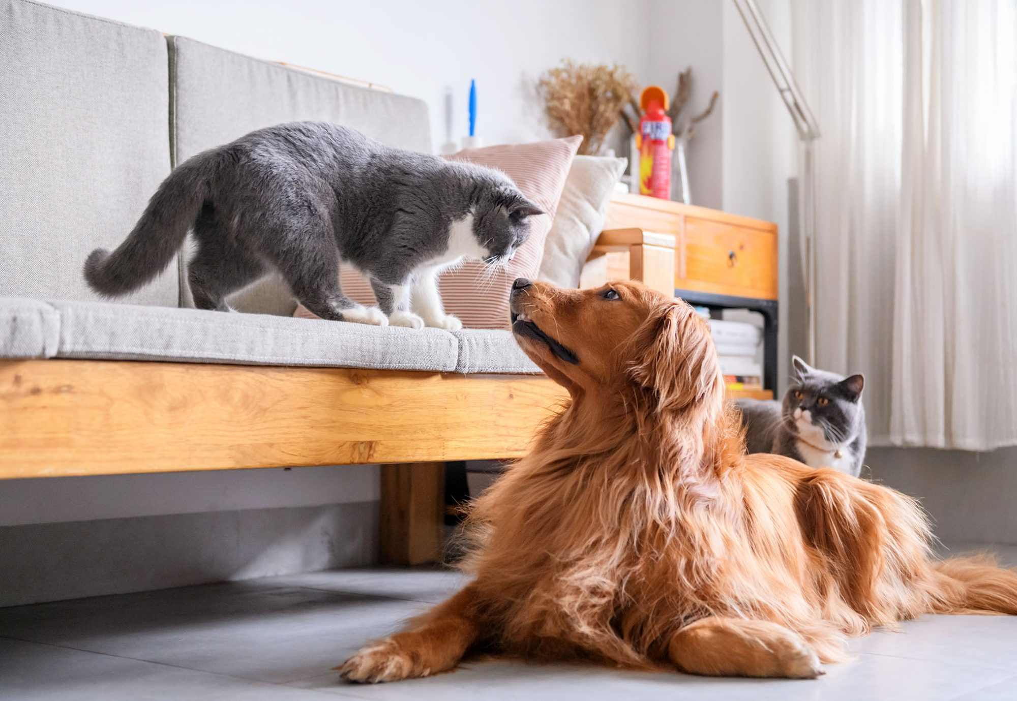 golden retriever with two cats