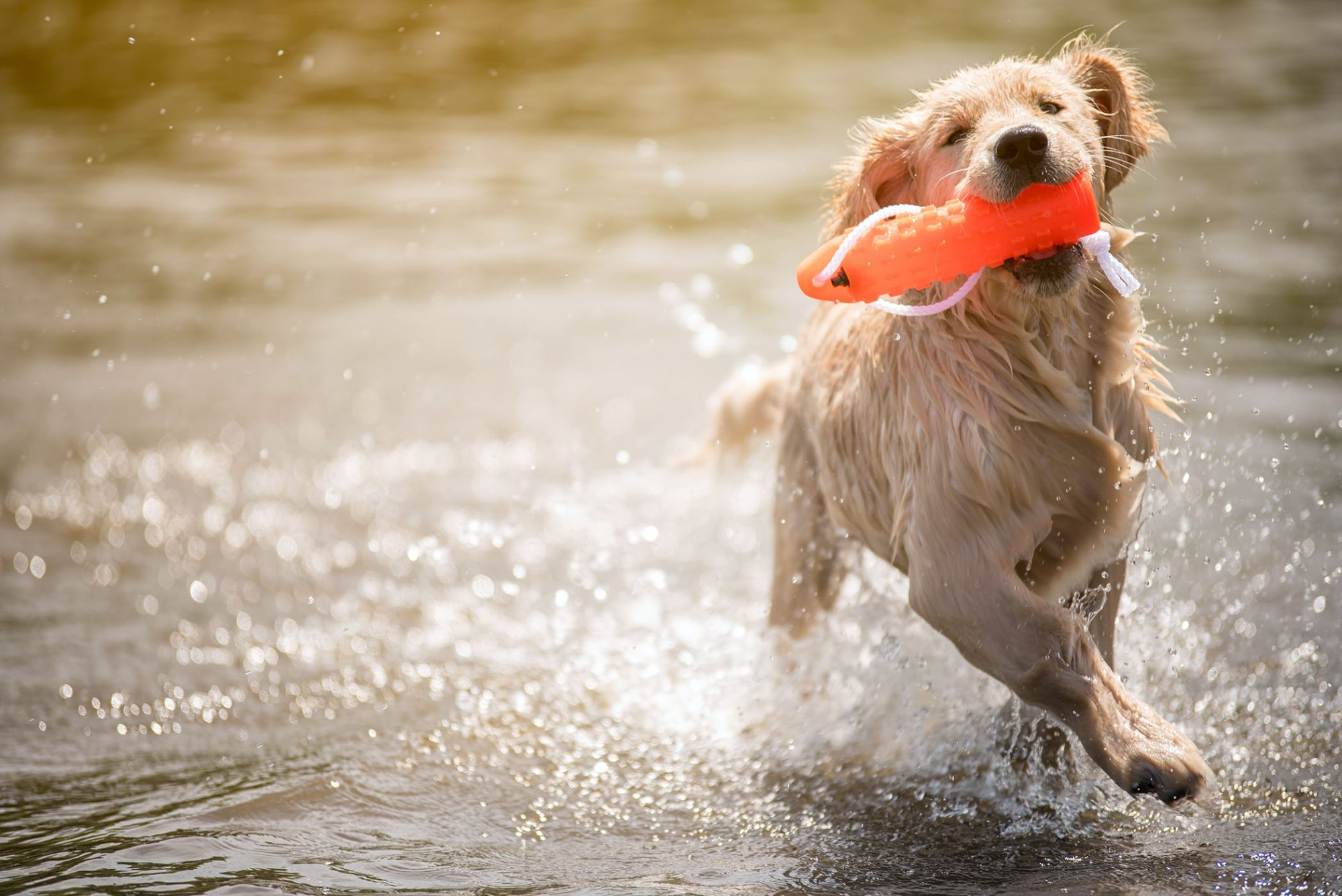 golden retriever fetching float