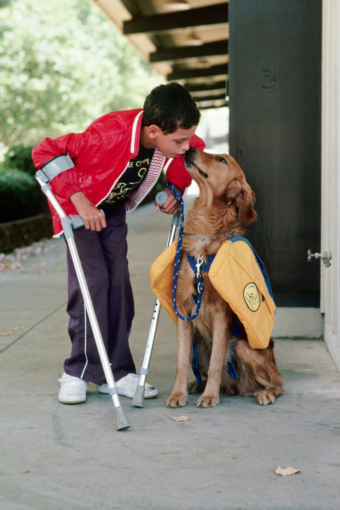 golden retriever assistance dog
