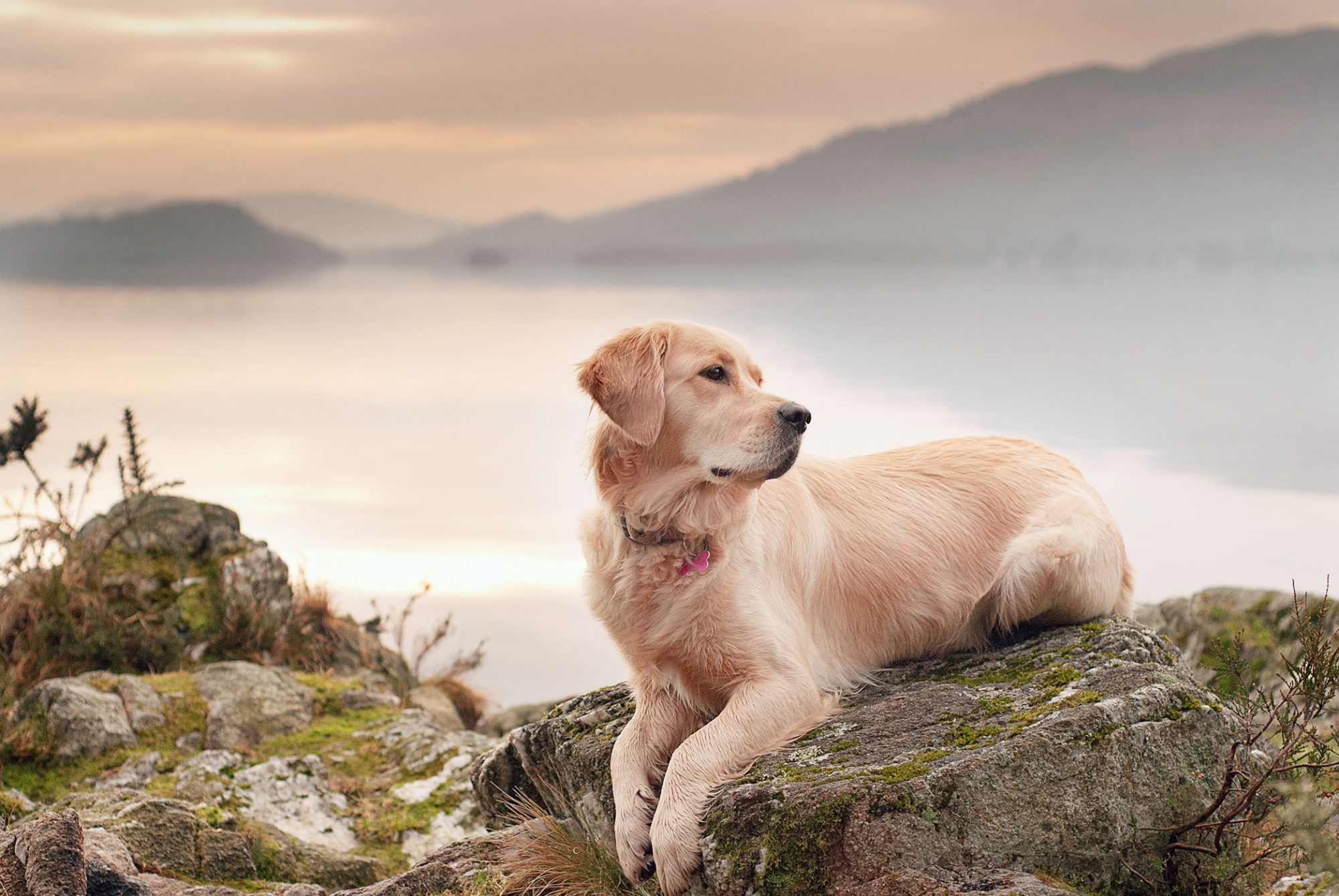 golden retriever sitting on rock over scenic valley