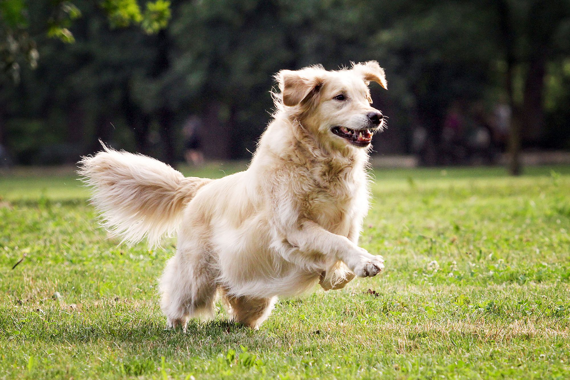 golden retriever running on grassy field