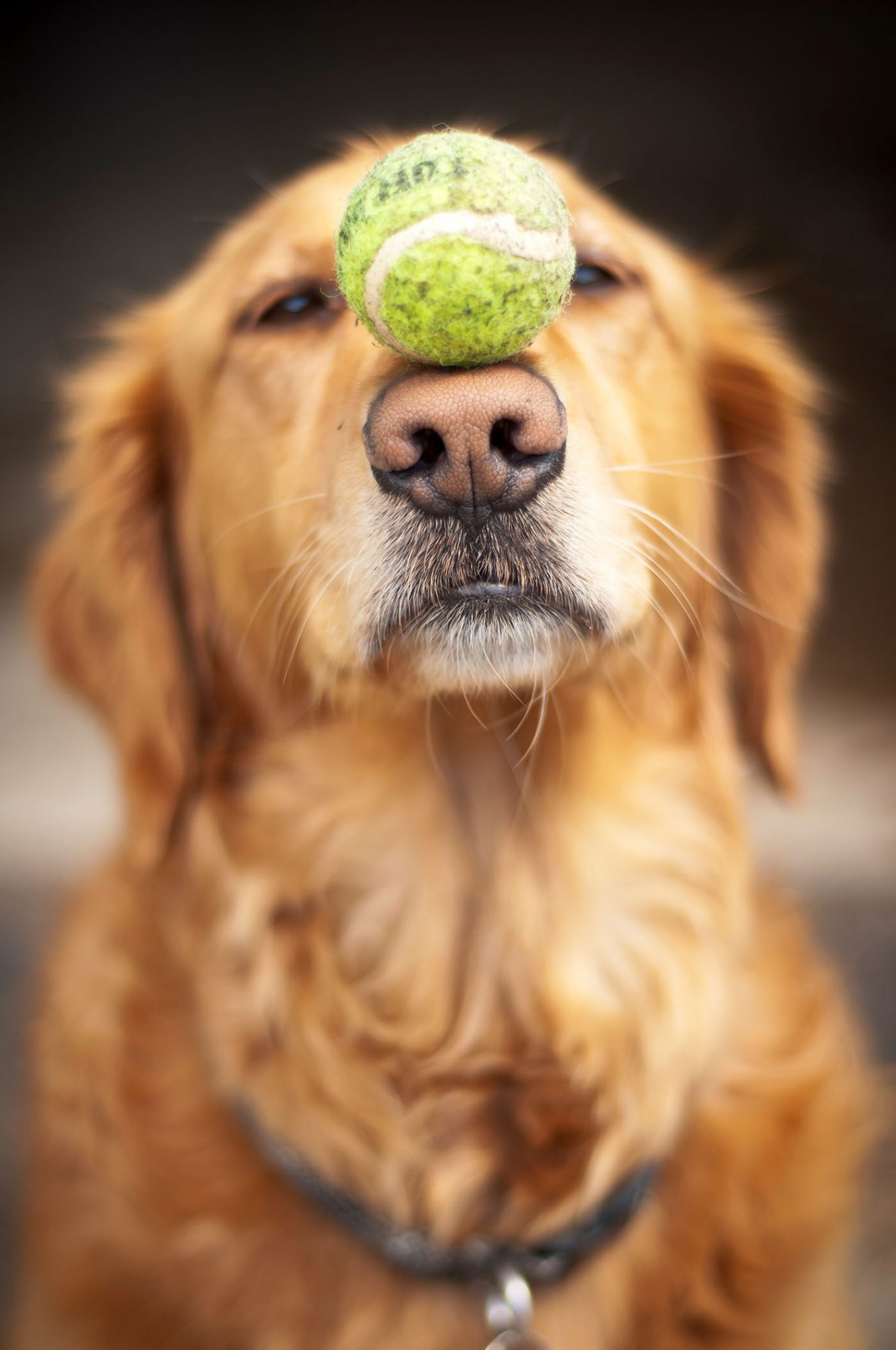 golden retriver with tennis ball on nose