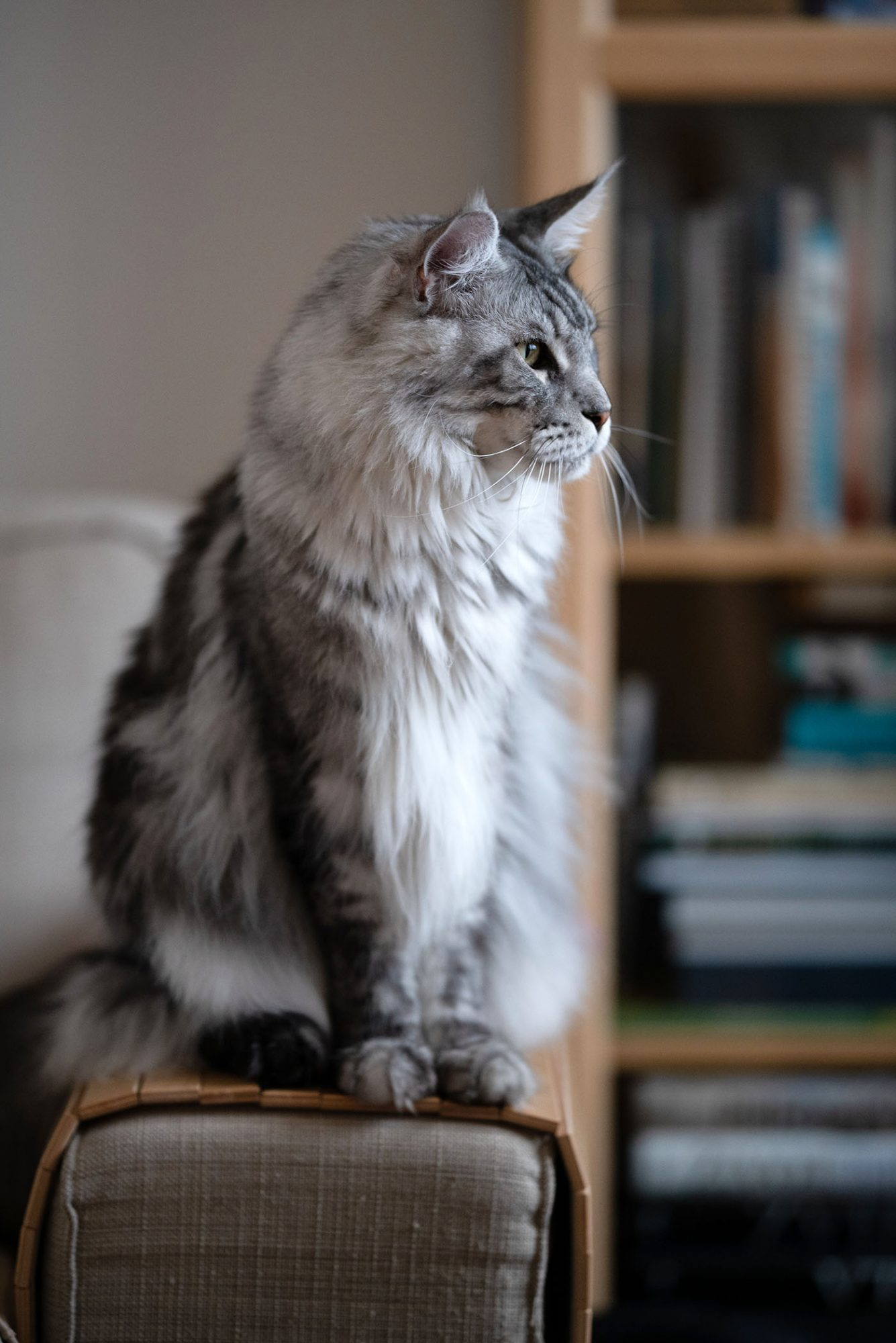 gray-and-white maine coon