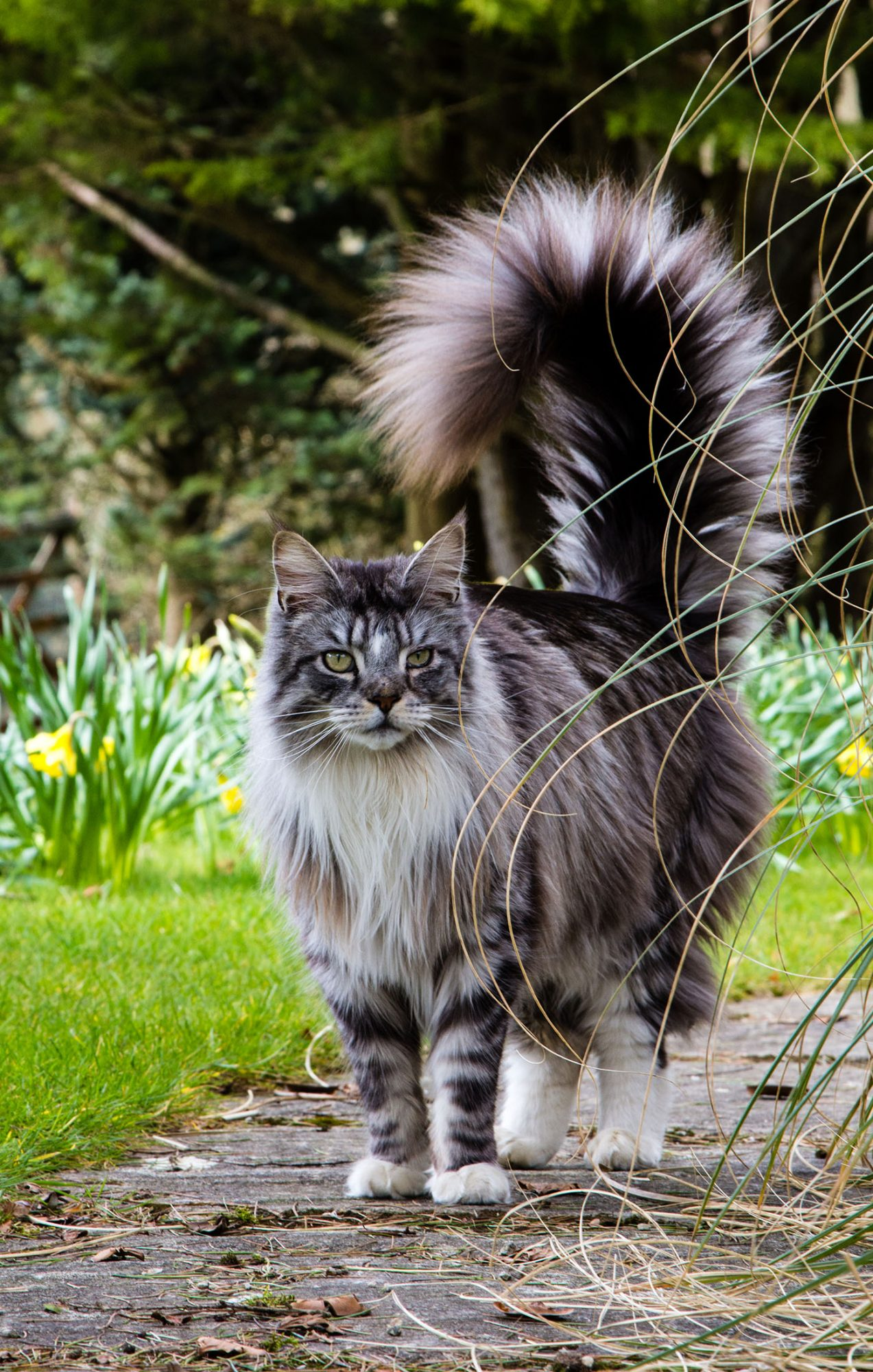 Maine coon cat with long fluffy tail walking outside
