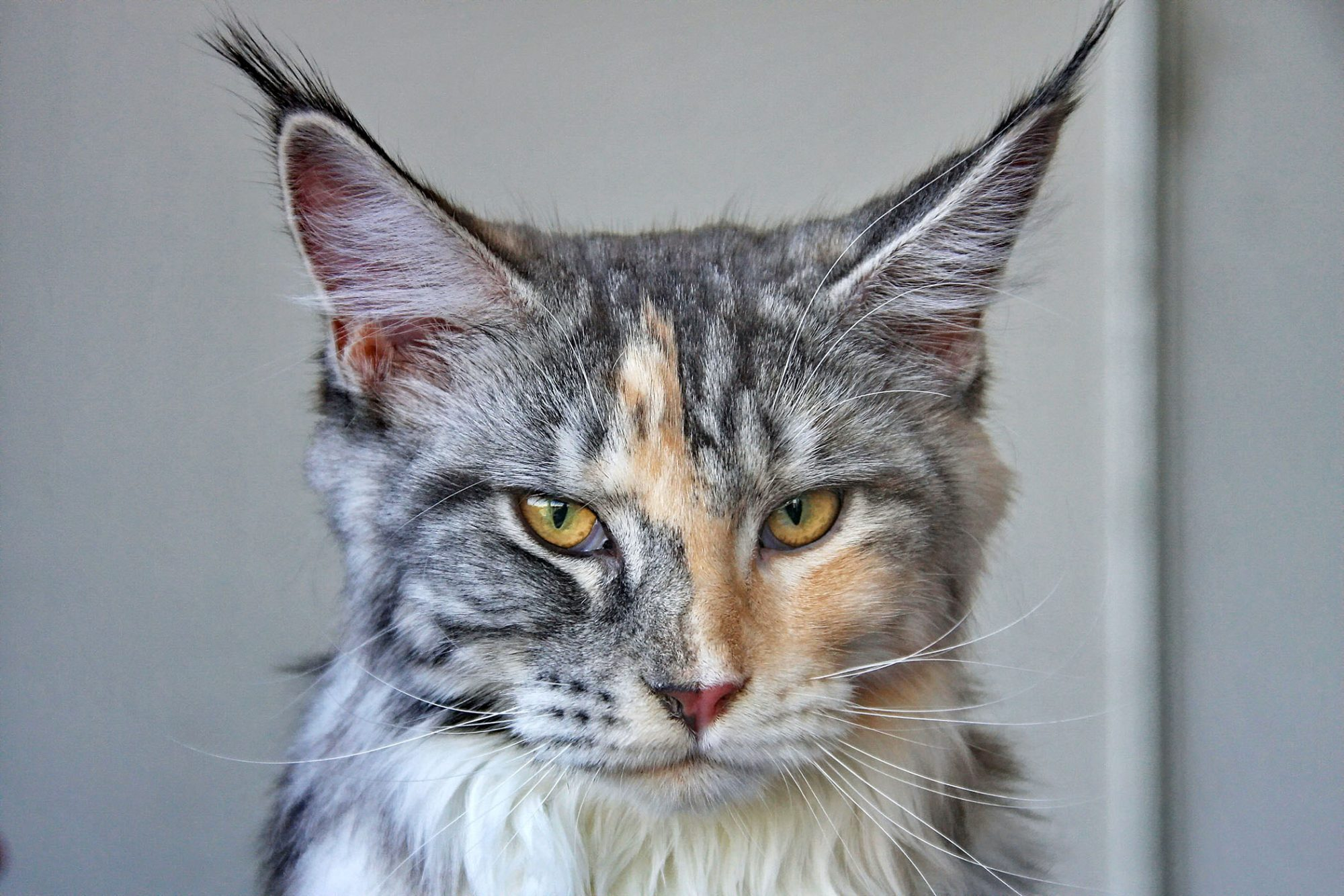 headshot of maine coon with mottled coloring