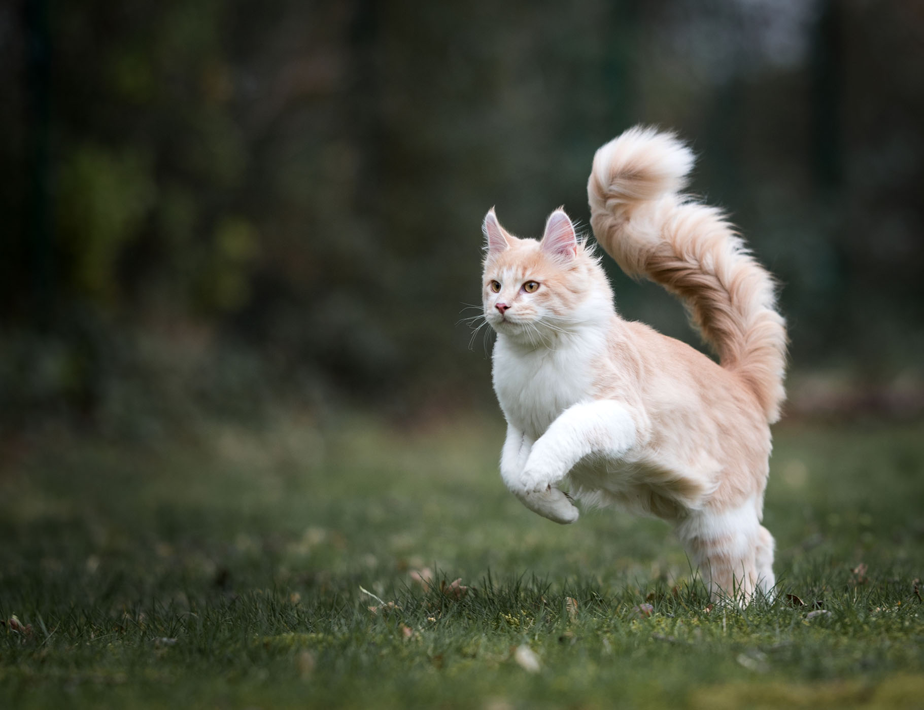 orange cream Maine coon leaping
