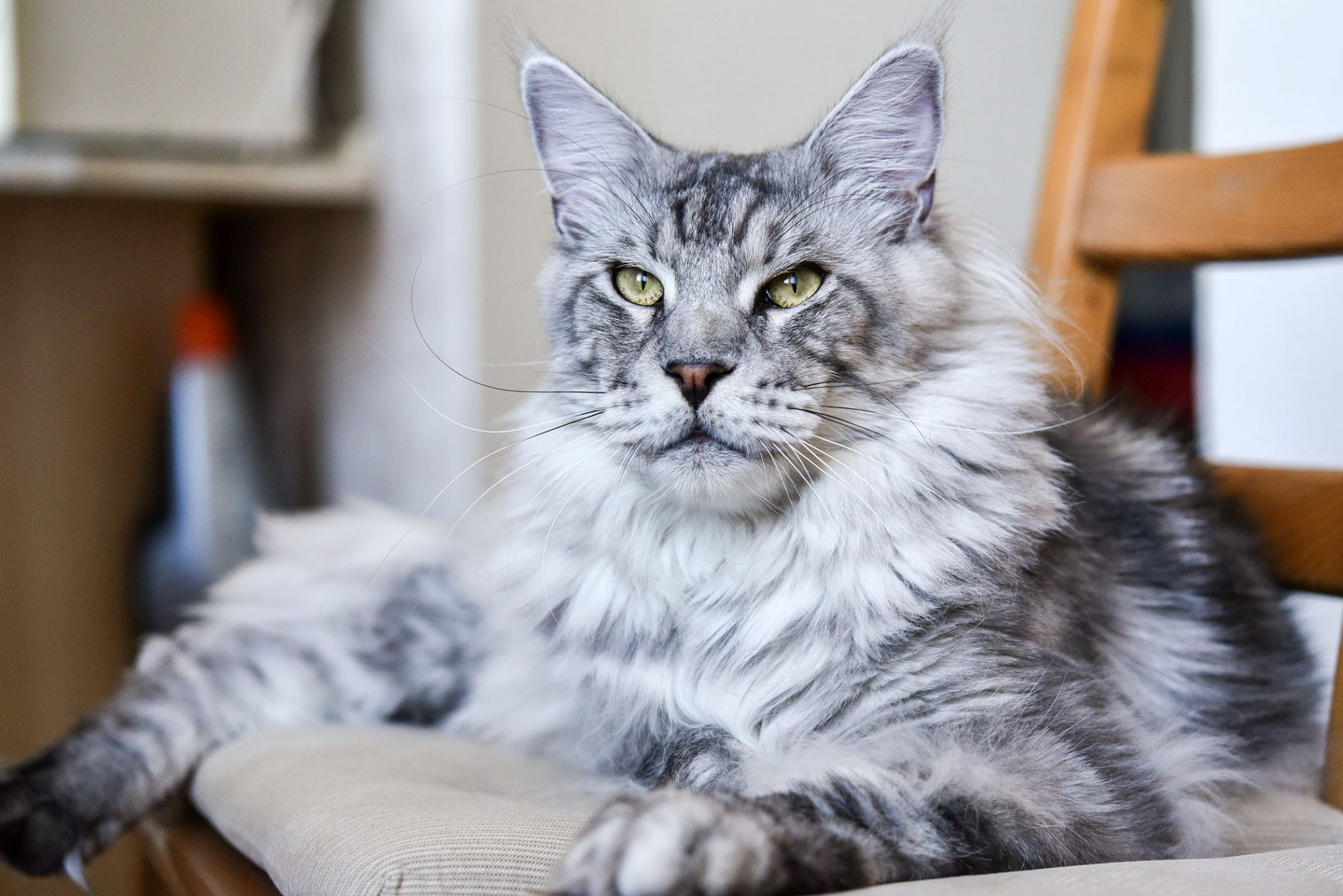 gray-and-white Maine coon cat lounging