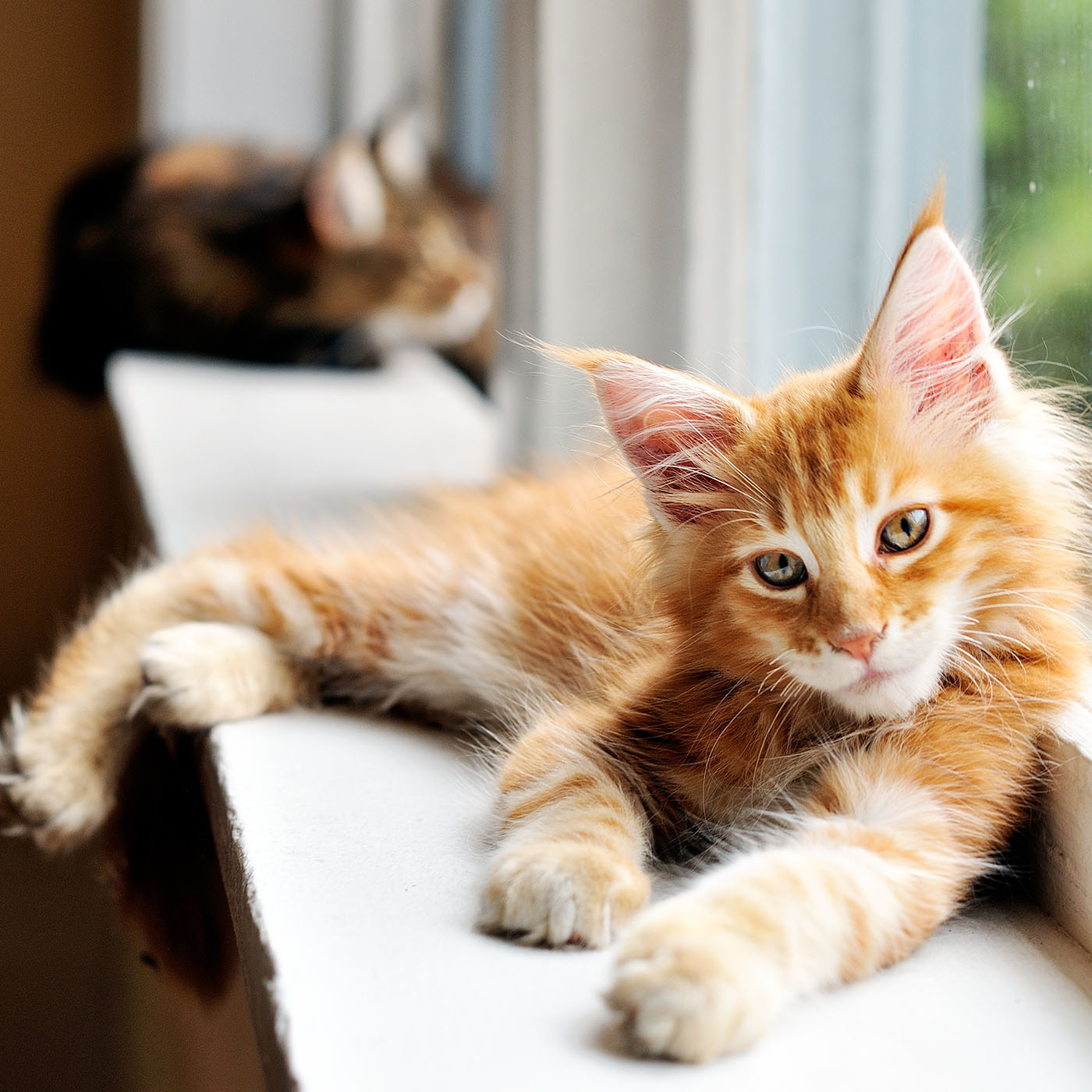 red maine coon kitten sitting in windowsill