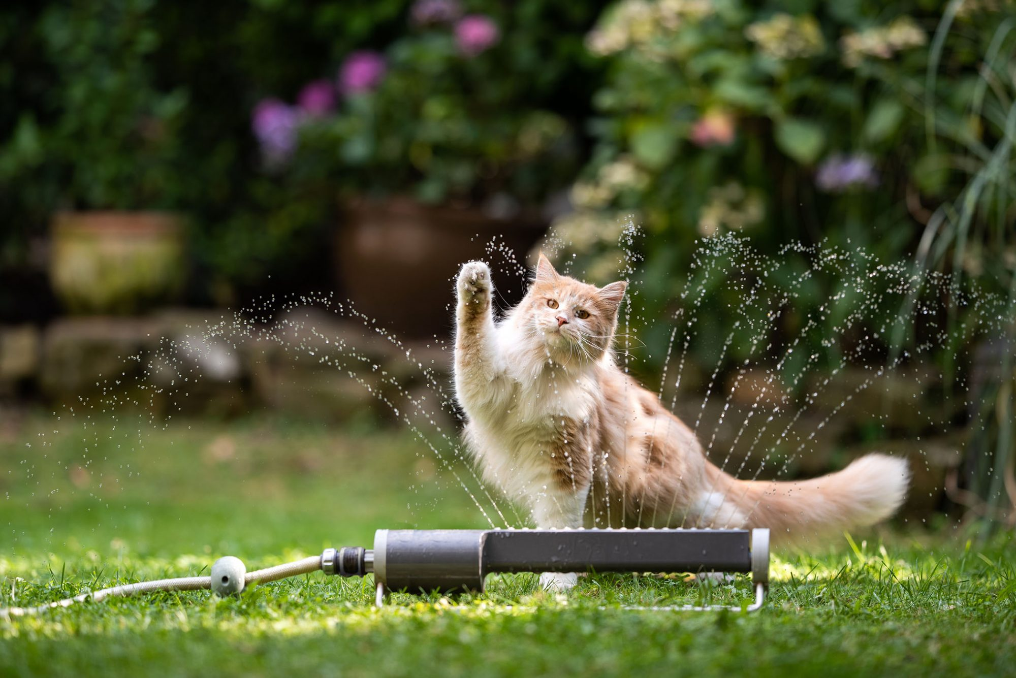 orange tabby Maine coon playing in sprinklers