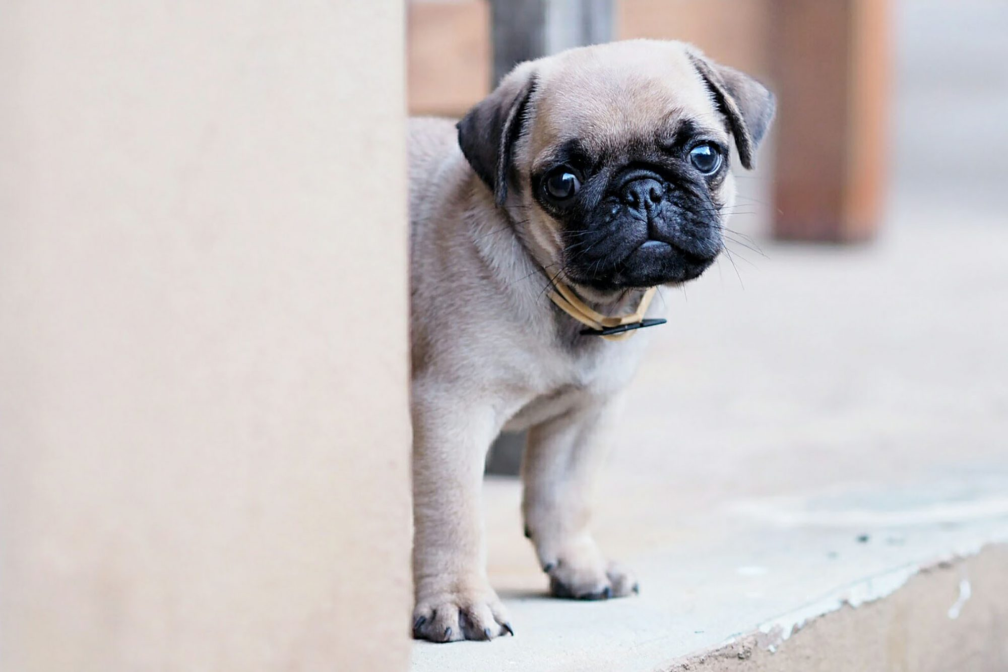 pug puppy peeking around wall
