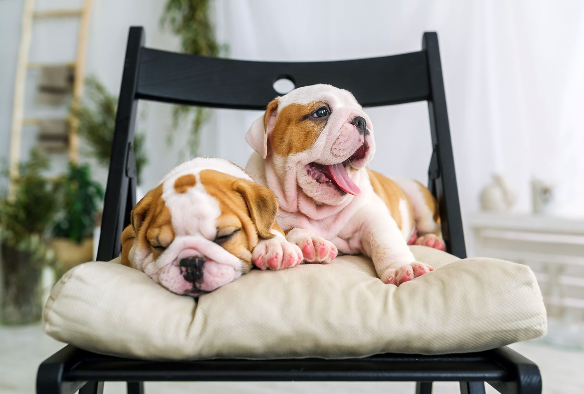 two bulldog puppies sitting on chair