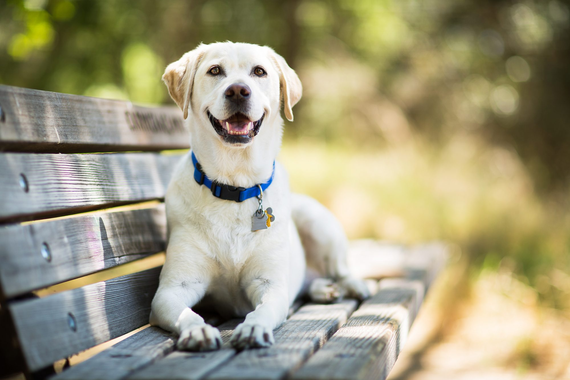 lab smiling on bench