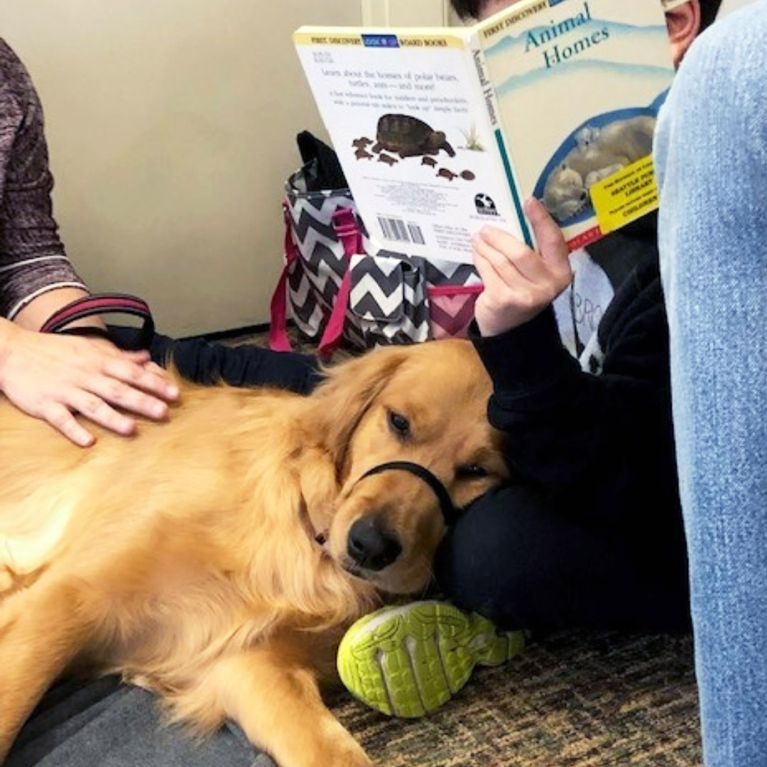 Golden retriever therapy dog lies next to a child reading
