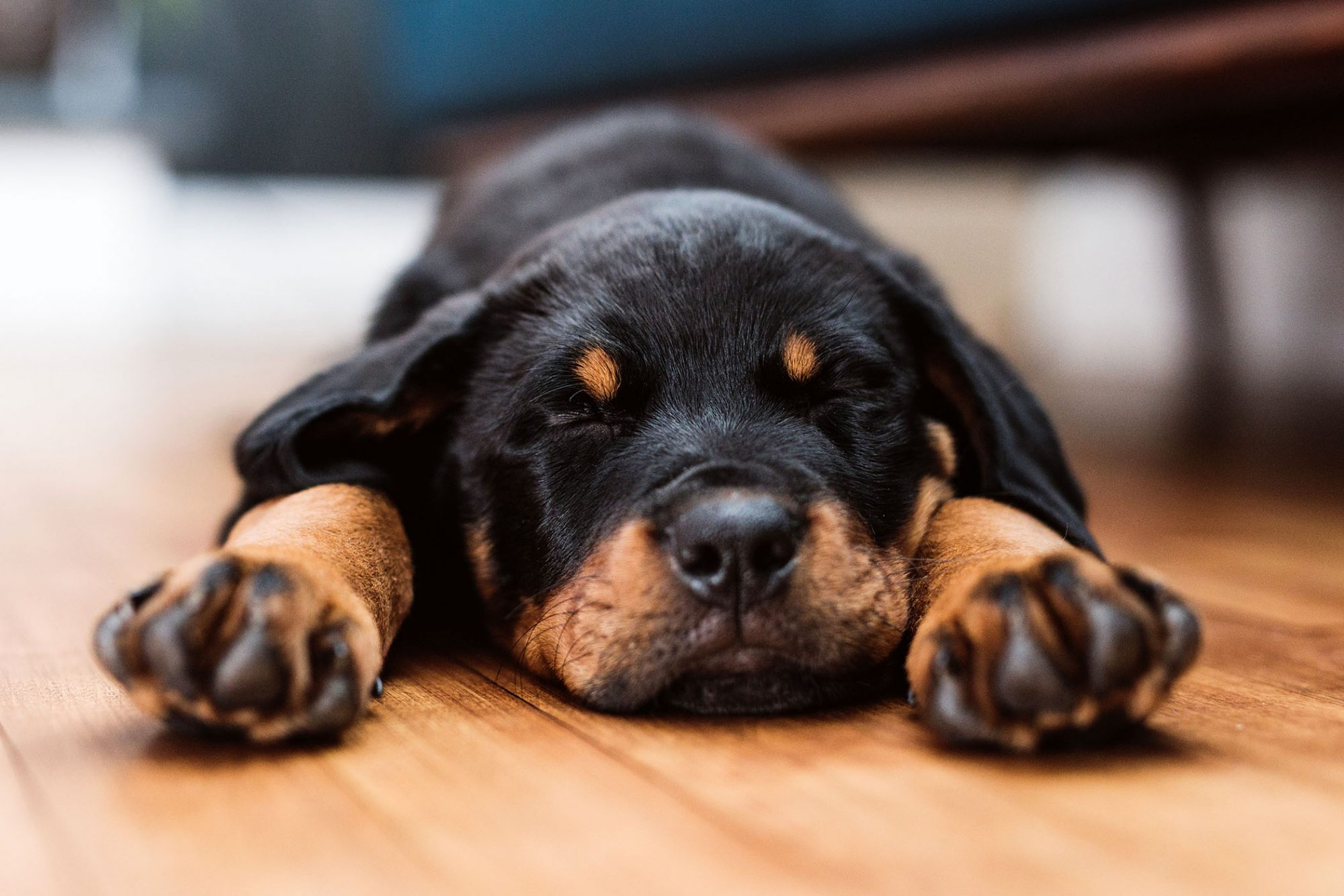 rottweiler puppy asleep on floor