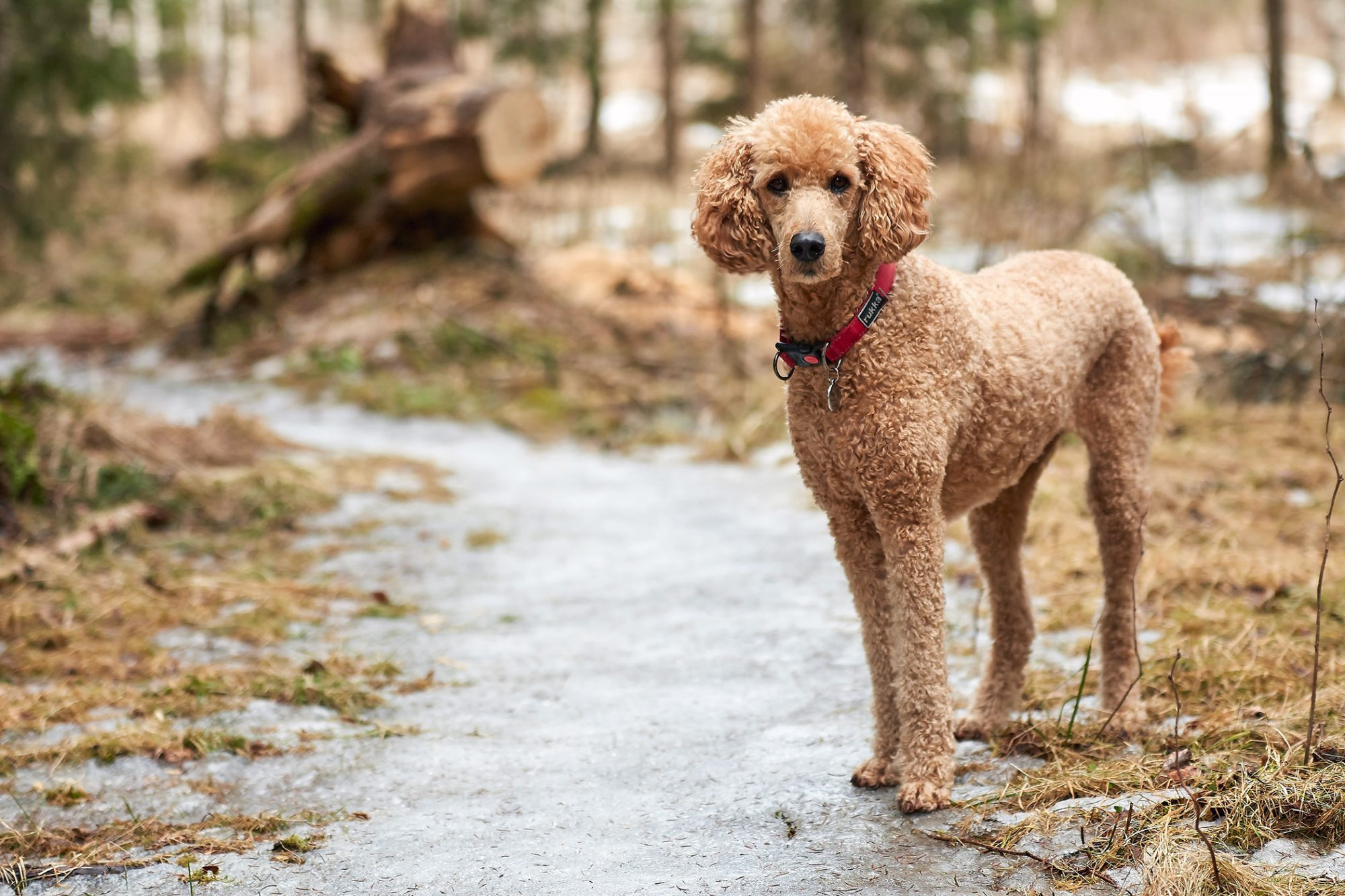 light brown standard poodle standing on path in woods