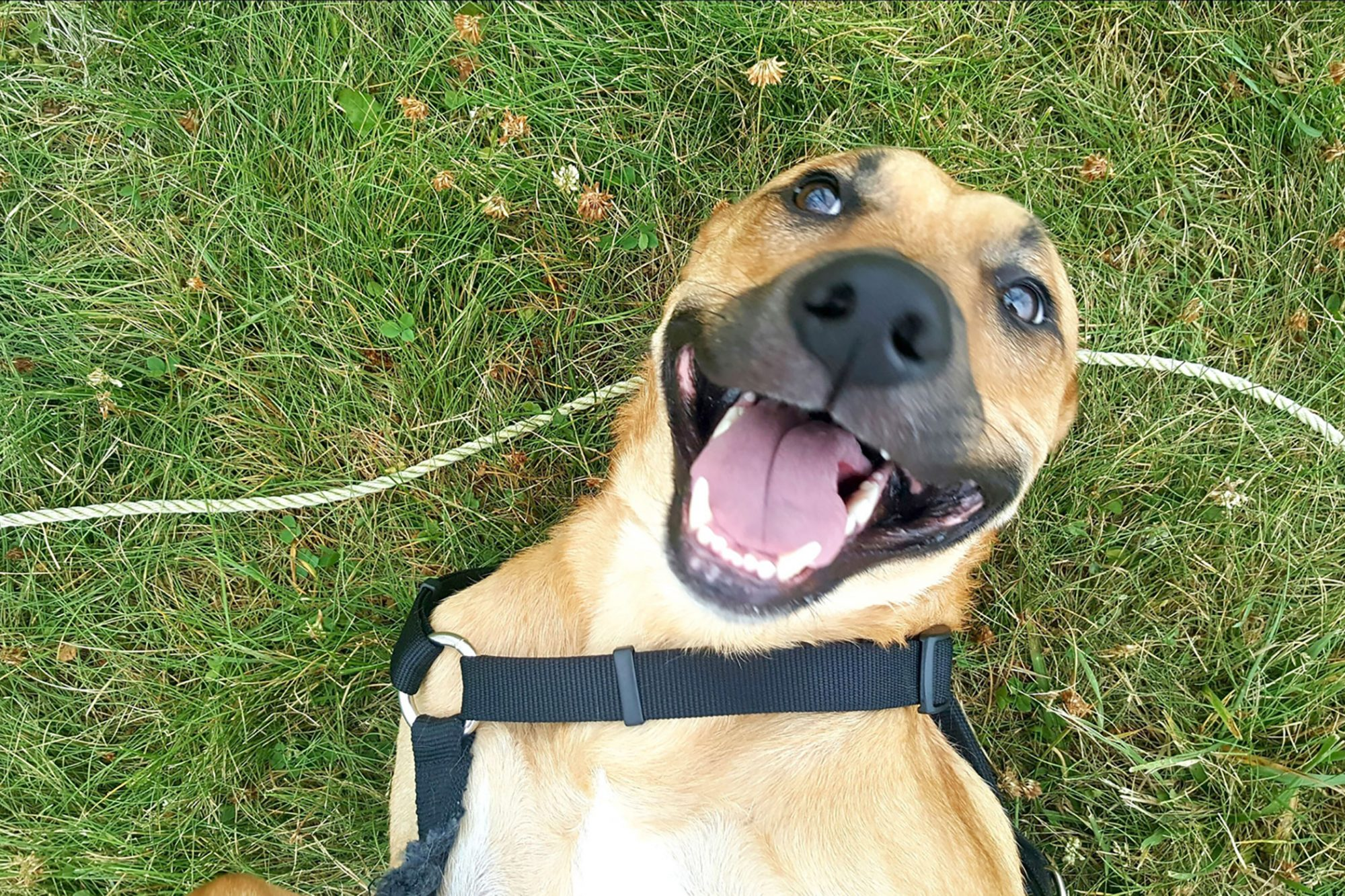 Goofy dog in harness smiles in grass
