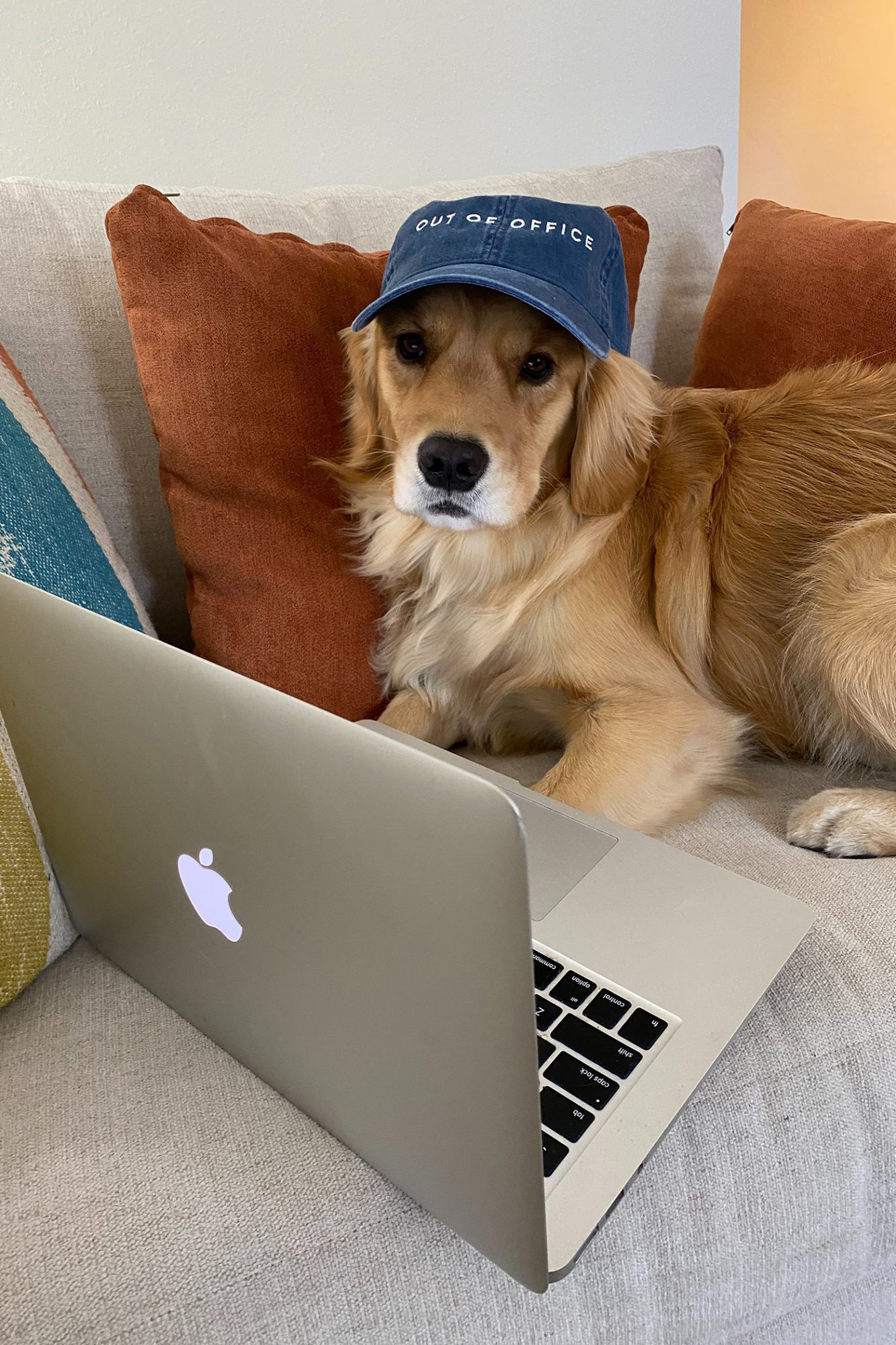 Golden retriever in a hat looks at laptop