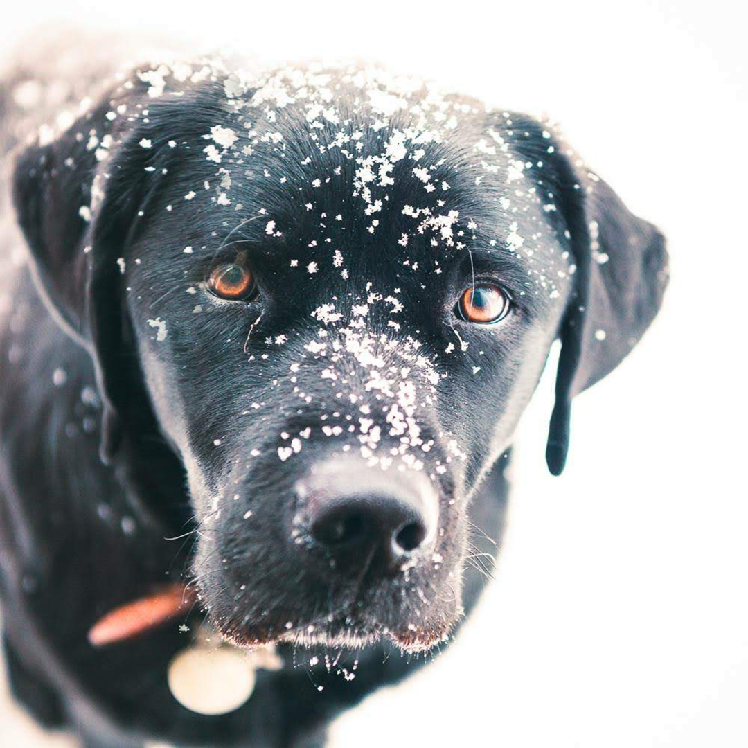 Black dog with snow on nose