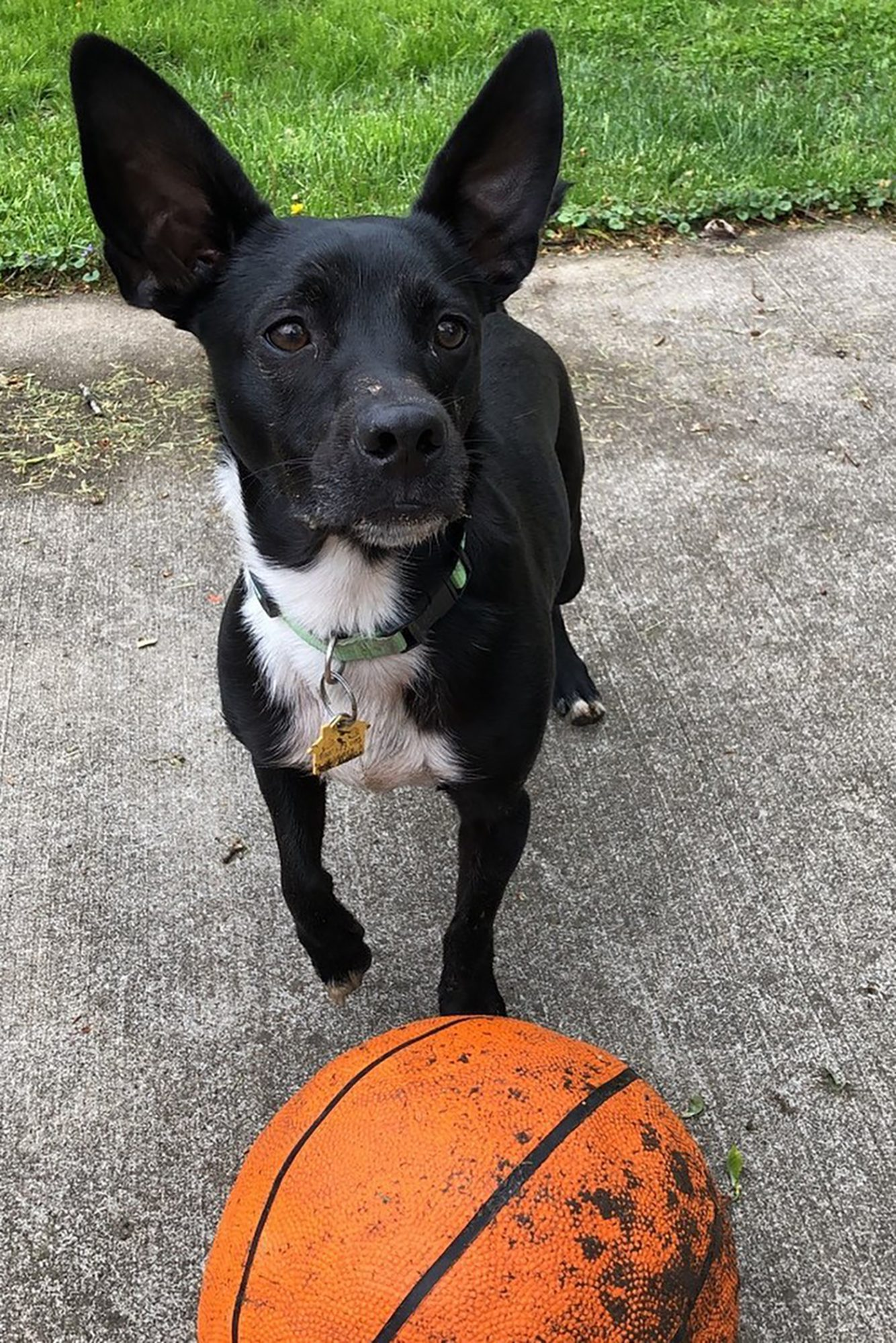 Black and white dog with basketball