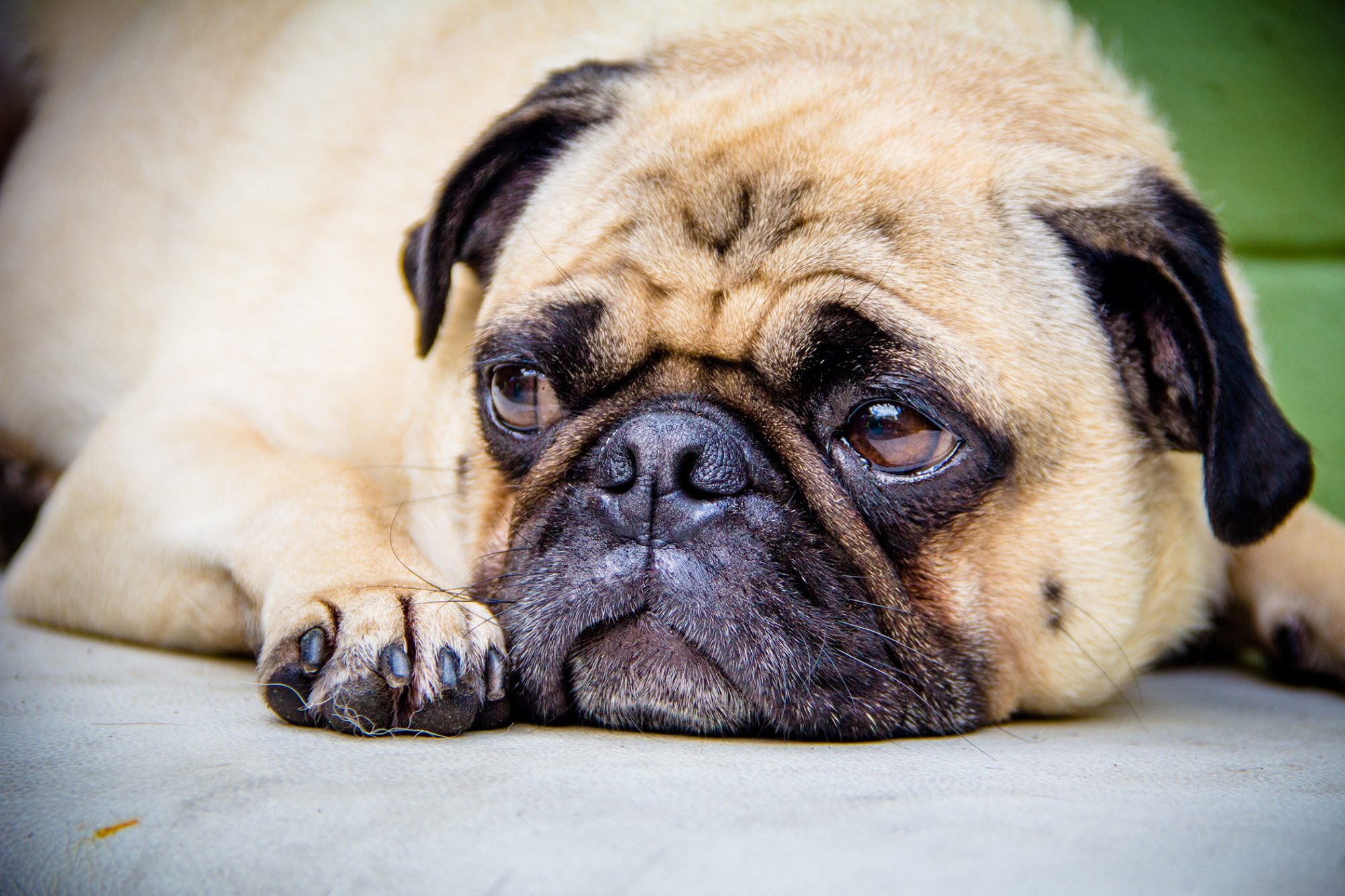 sad looking pug