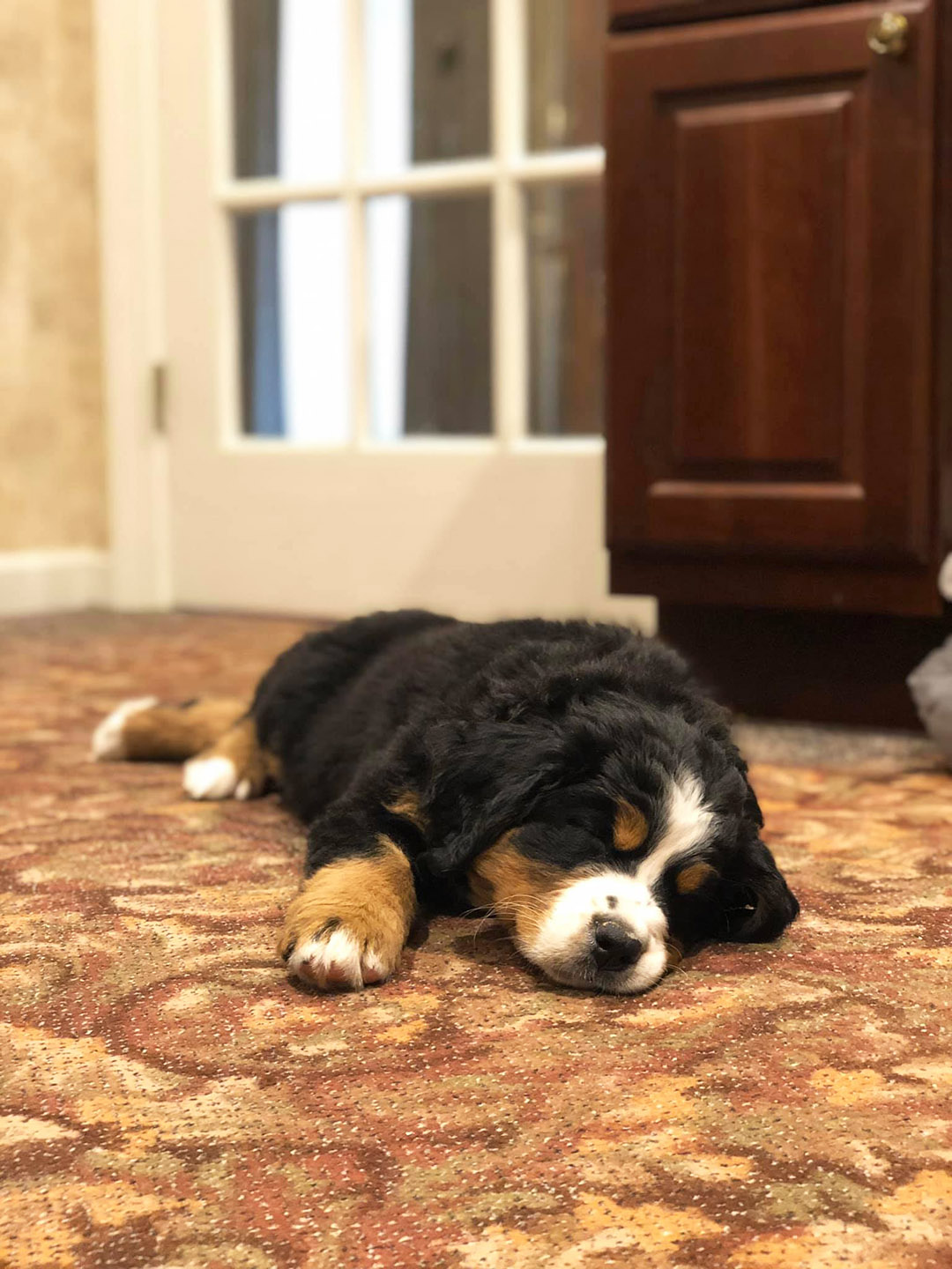 Mochi the puppy, a Bernese mountain dog, is asleep on the carpet at the Macon Funeral Home