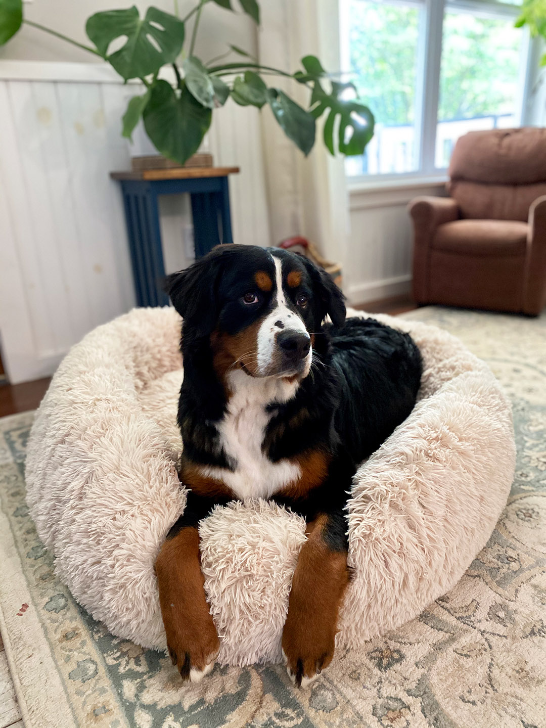 Mochi, a Bernese mountain dog, lays on a beanbag indoors.