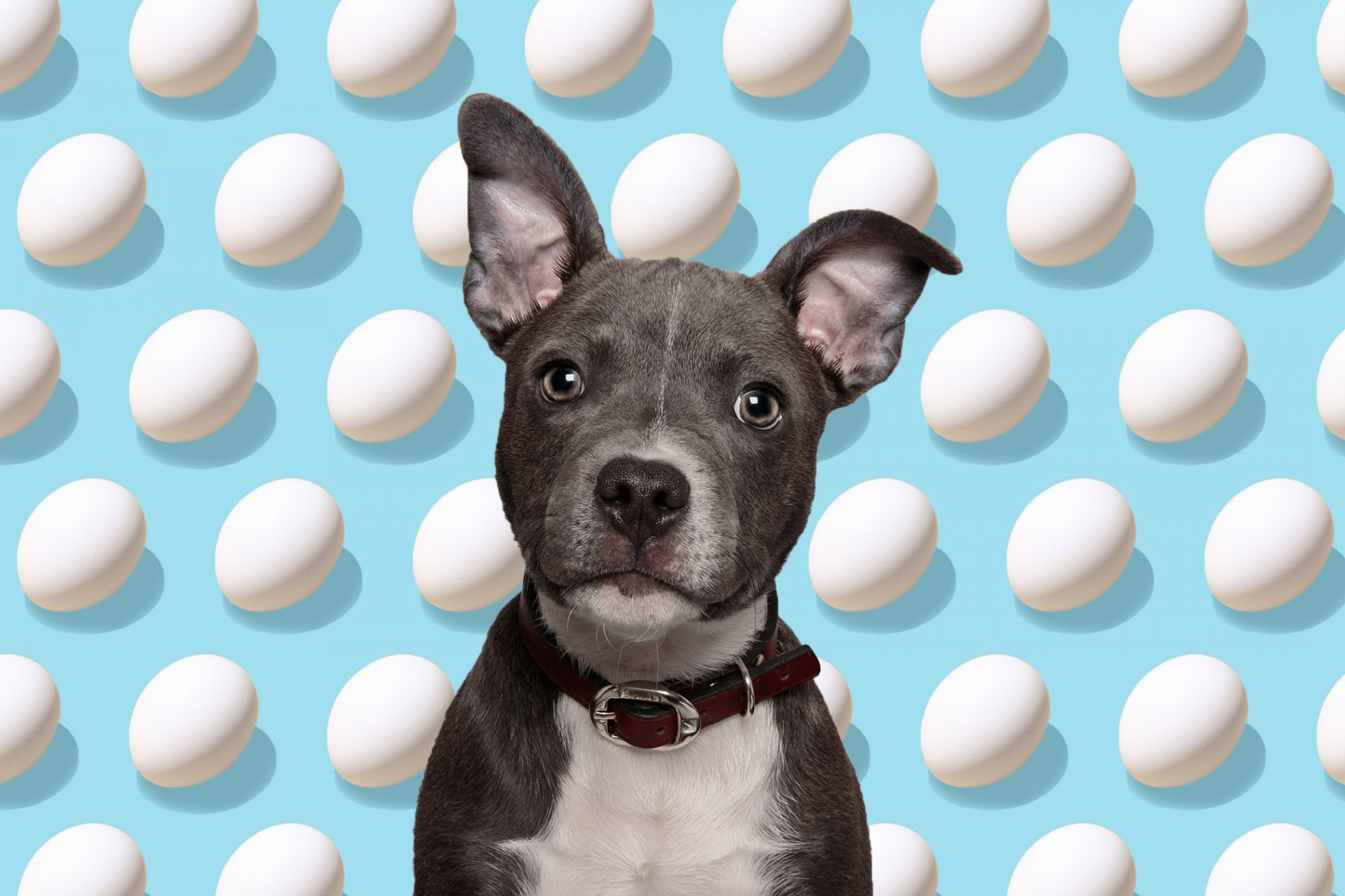 photo illustration of dog with eggs in the background