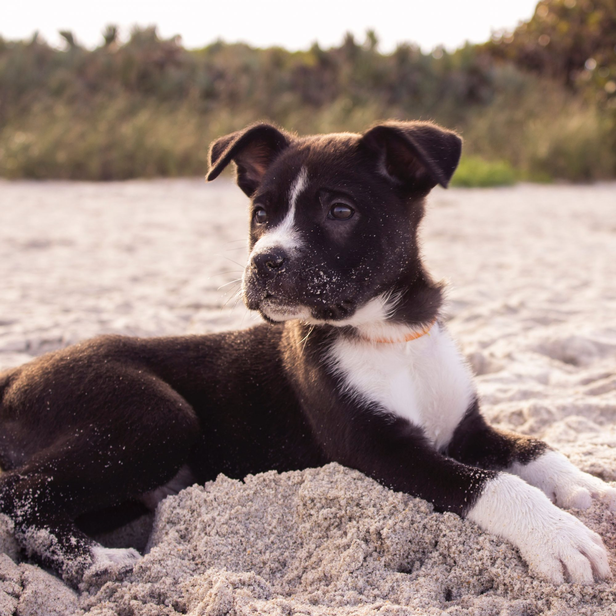 black-and-white puppy on beach