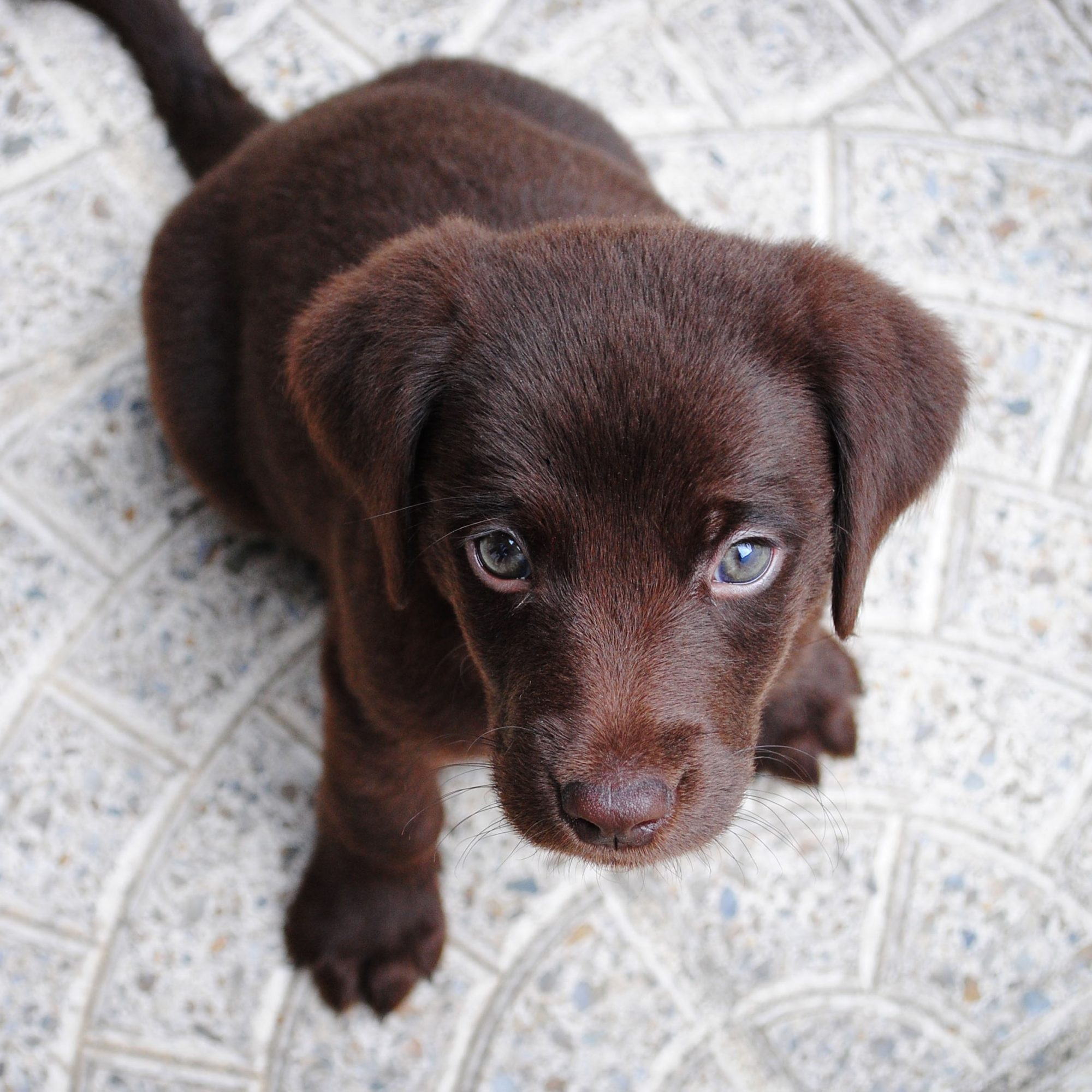 brown puppy looking at camera