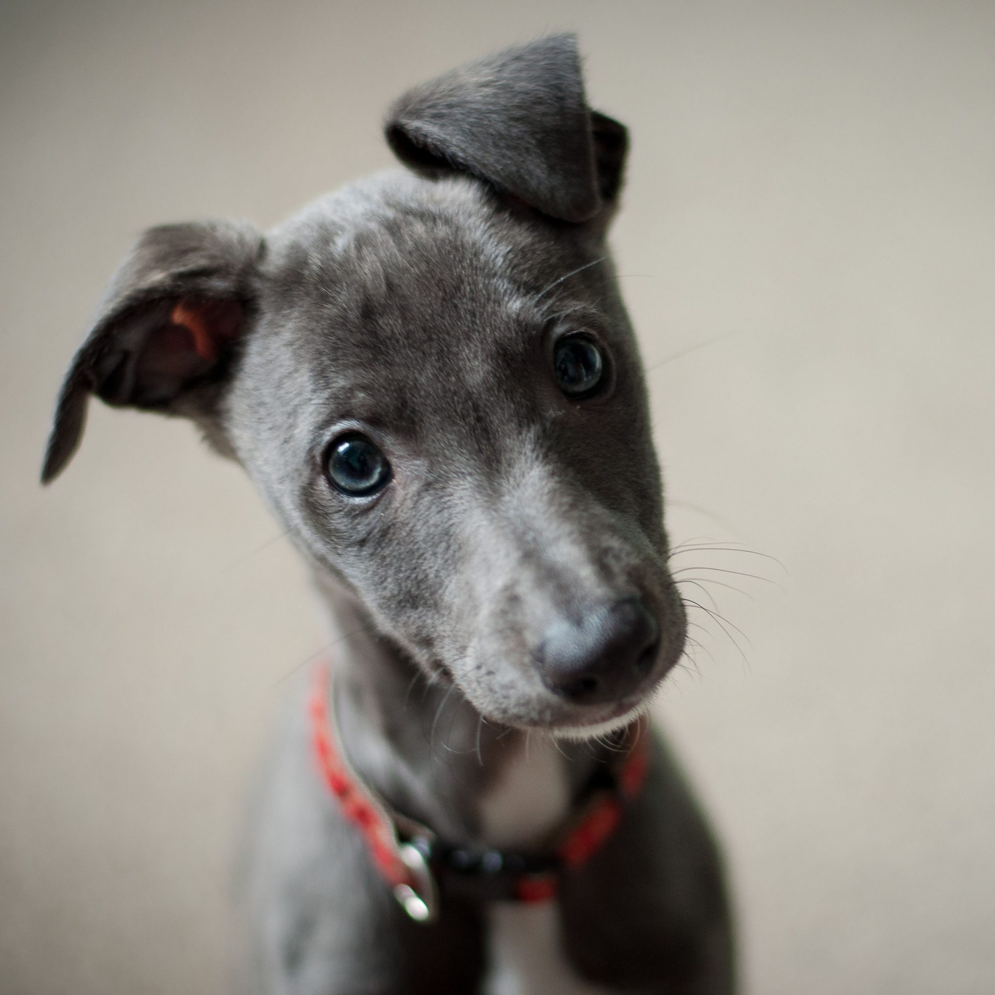 whippet puppy head tilt