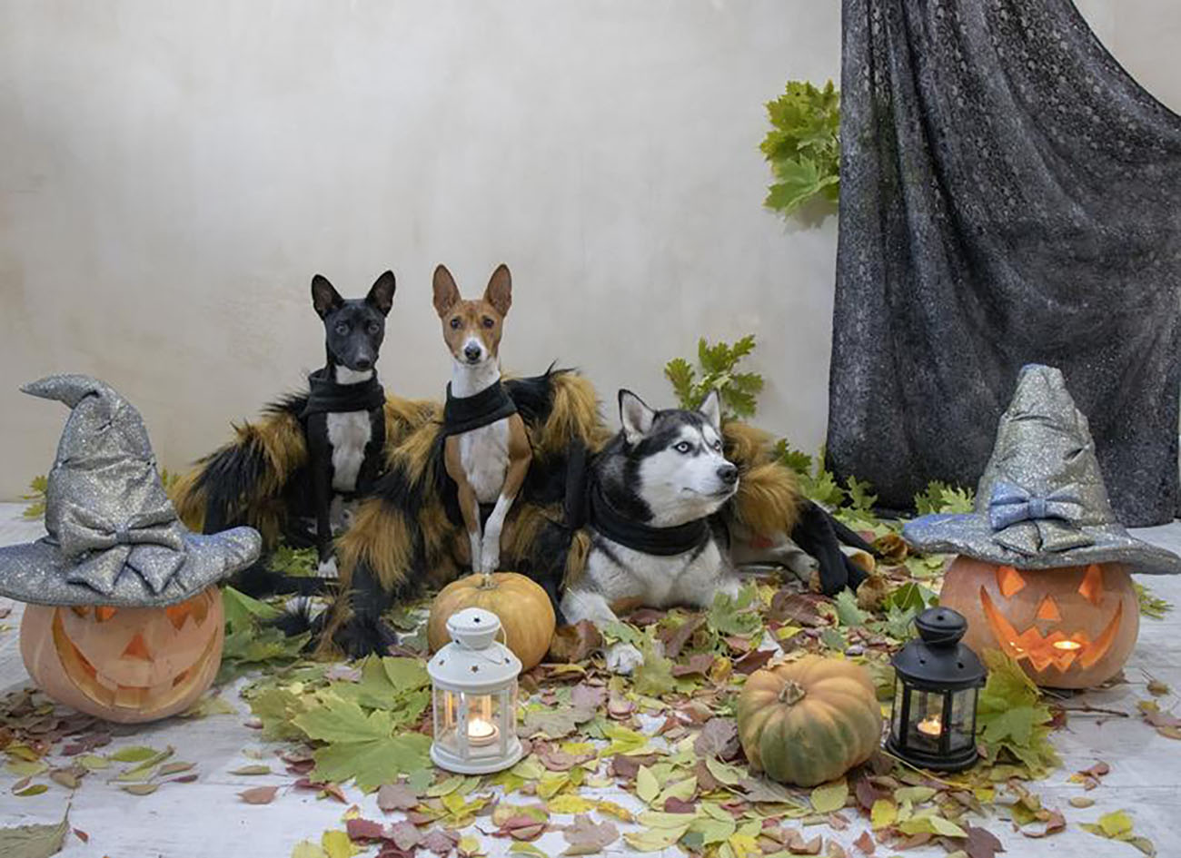 Group of dogs in spider Halloween costumes