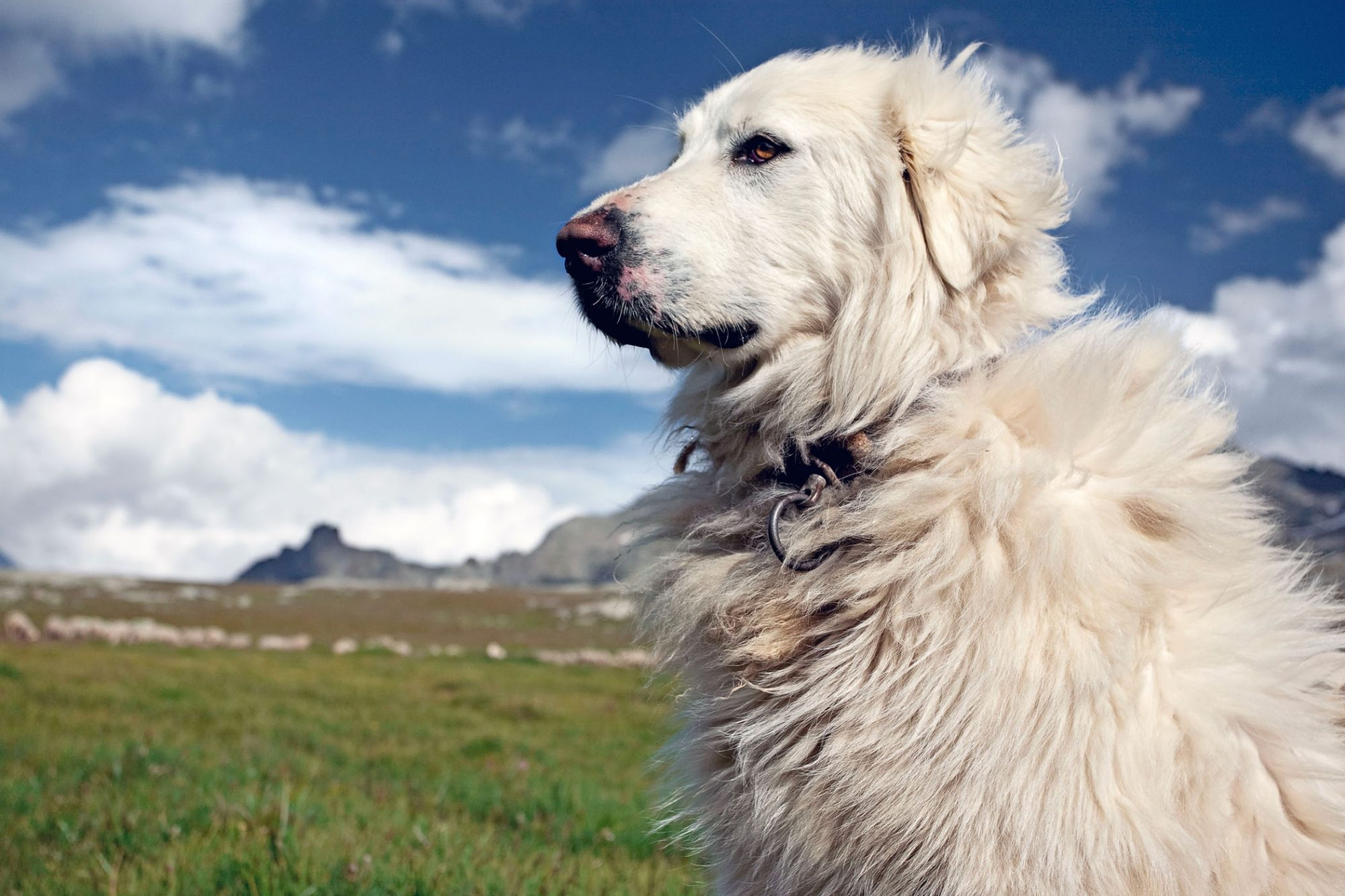Great Pyrenees guard dog