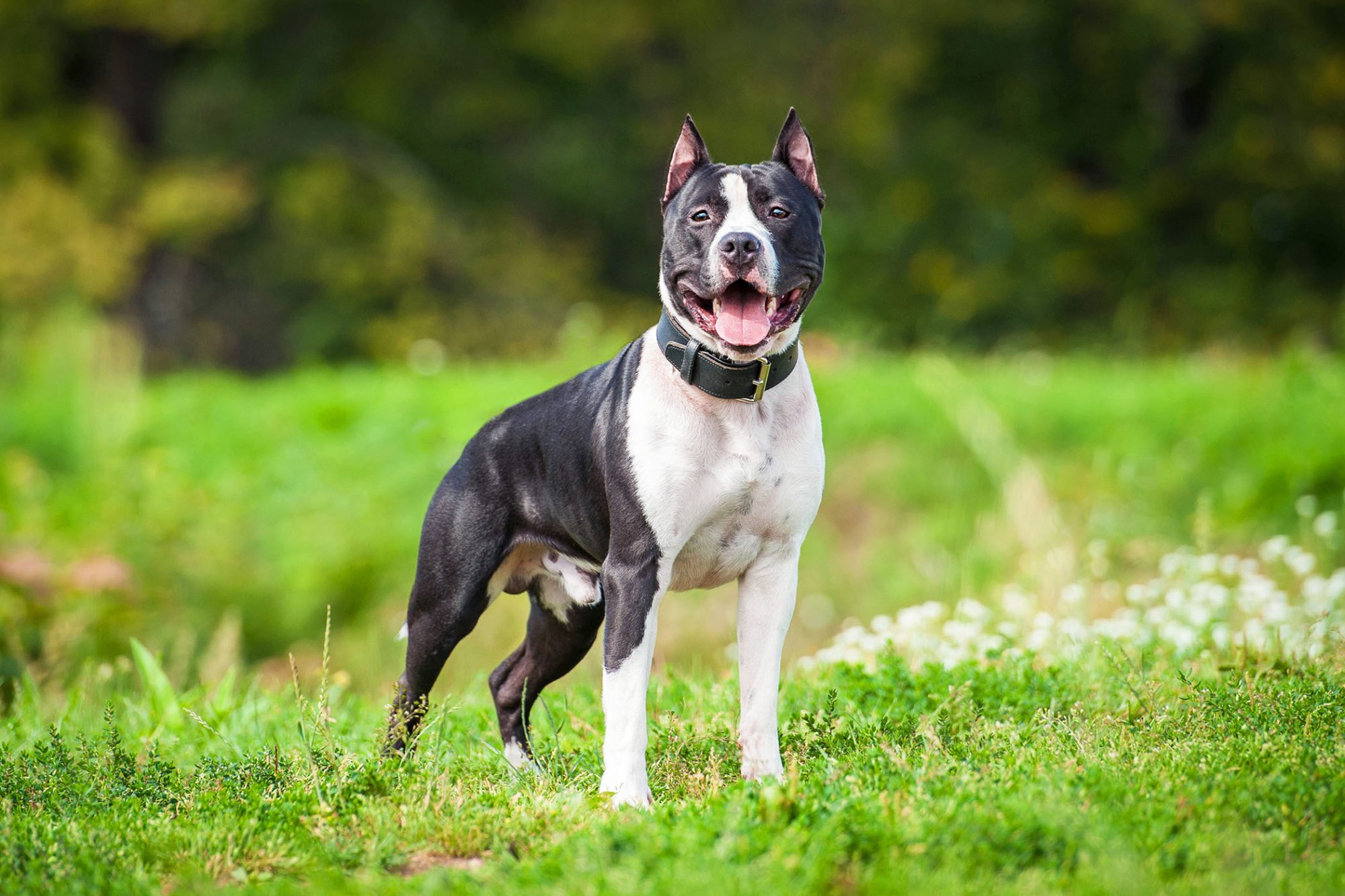 Staffordshire Terrier guard dog