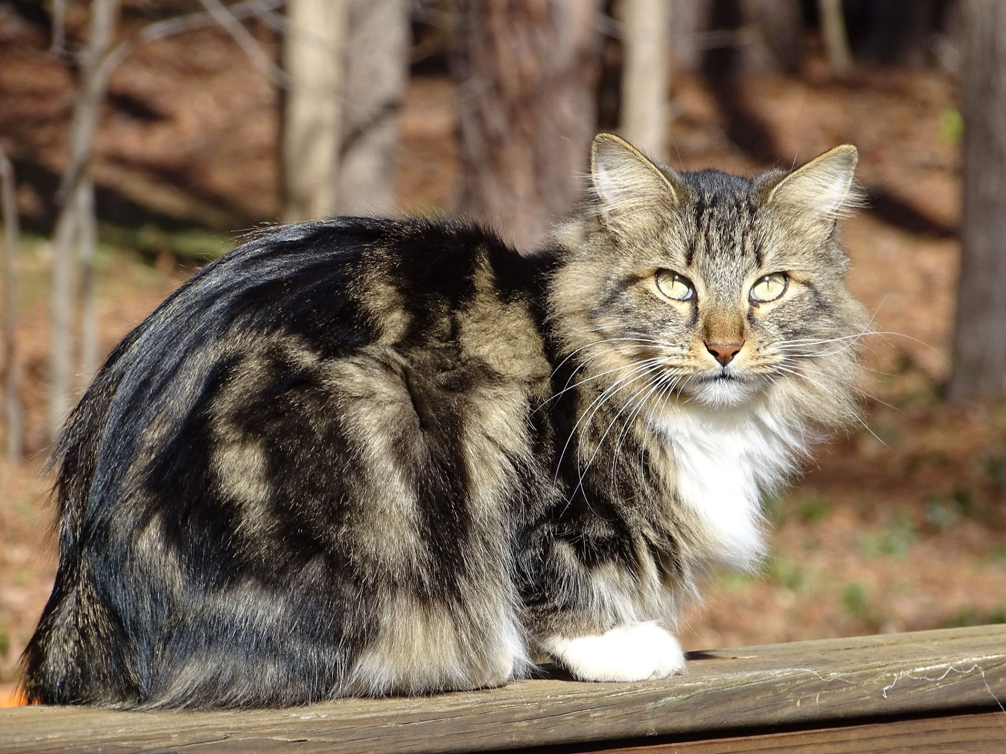American Bobtail cat sitting outdoors