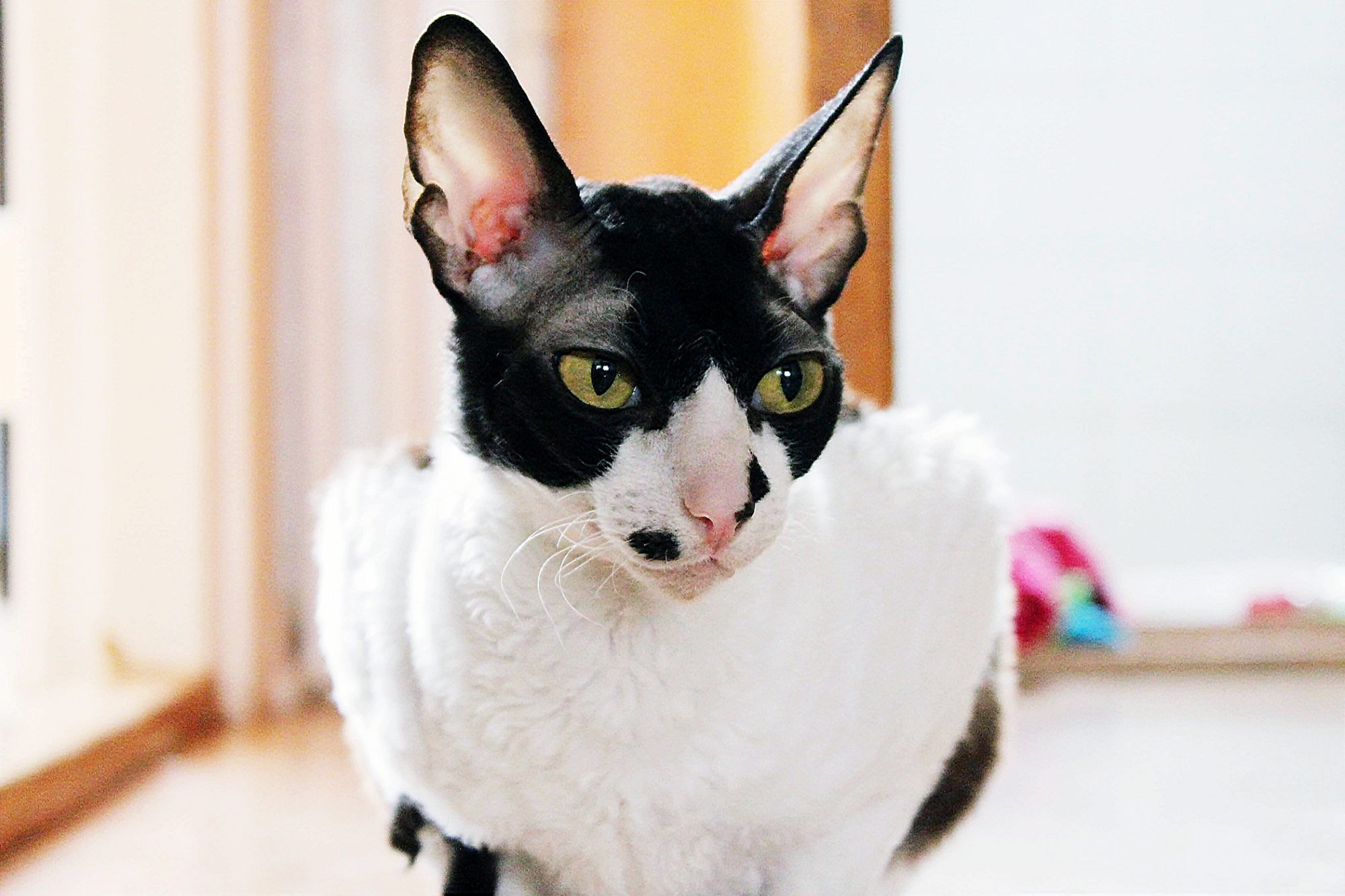 black and white Cornish Rex