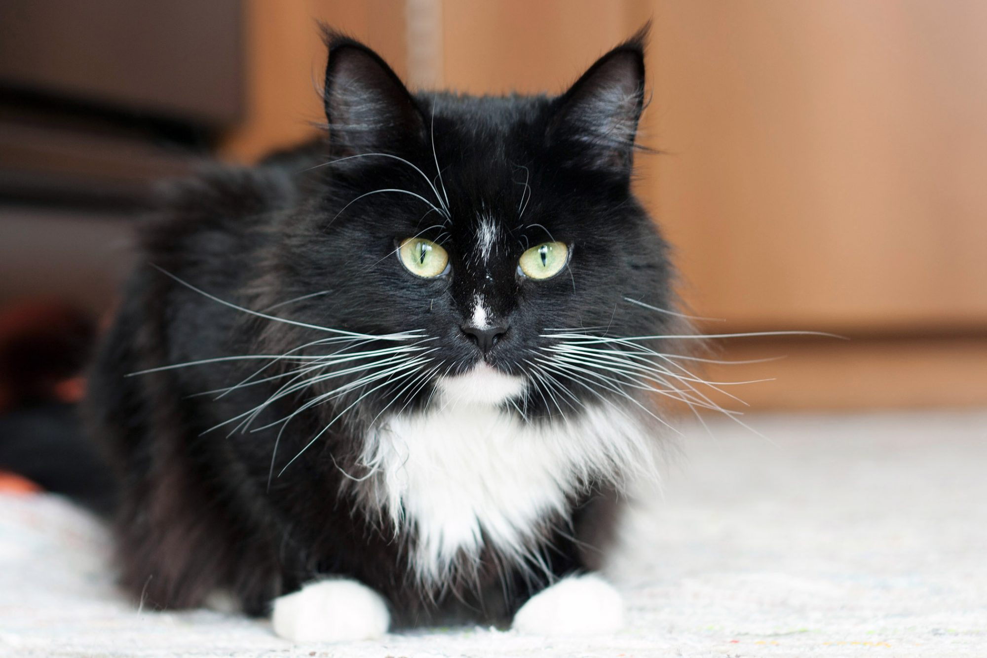 9 Beautiful Black And White Cat Breeds Daily Paws