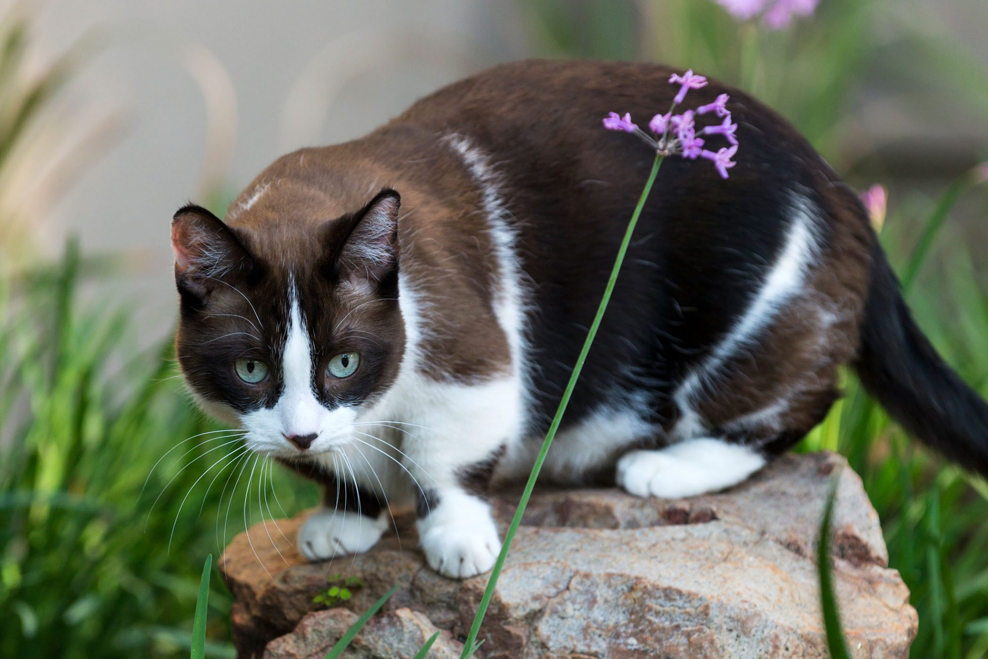 black and white munchkin cat