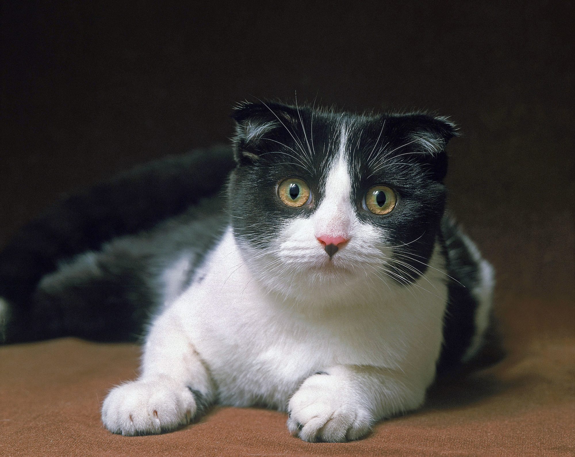 black and white Scottish Fold cat