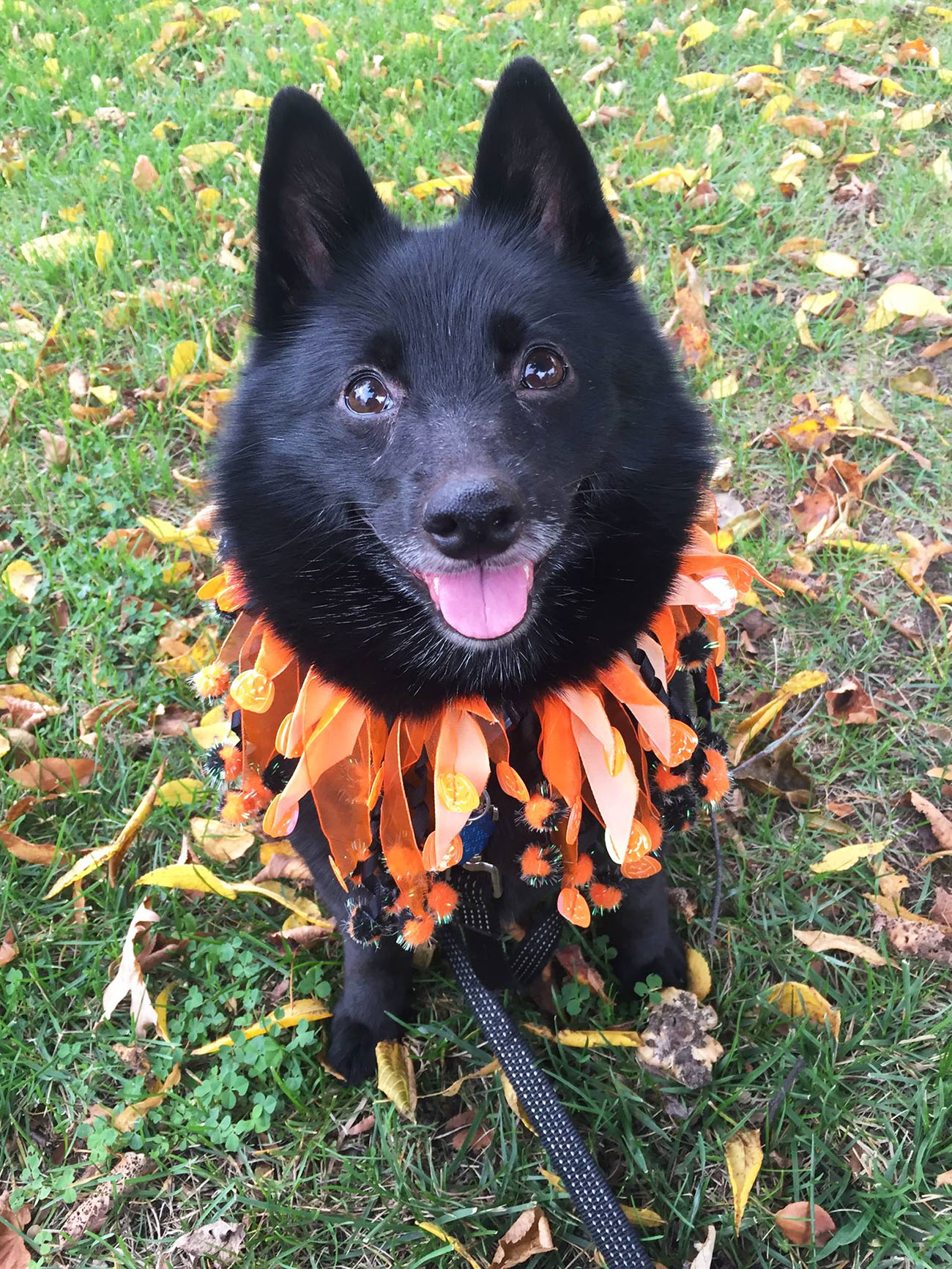 schipperke dog with Halloween collar
