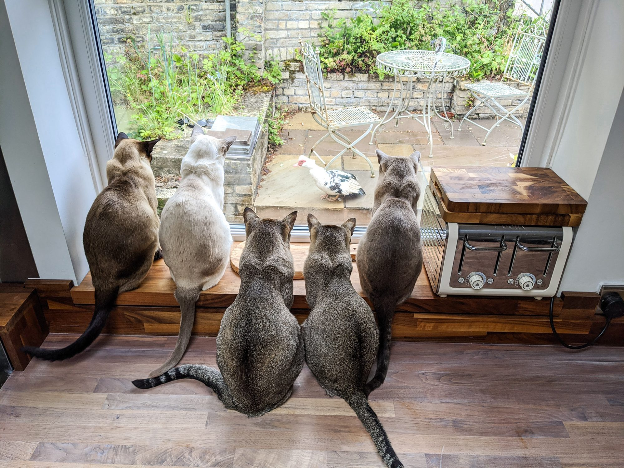Cats watch chicken out window