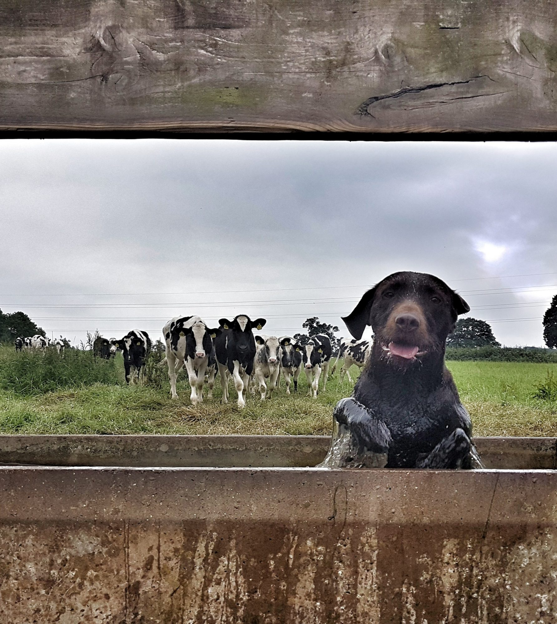 dog in trough in front of cows