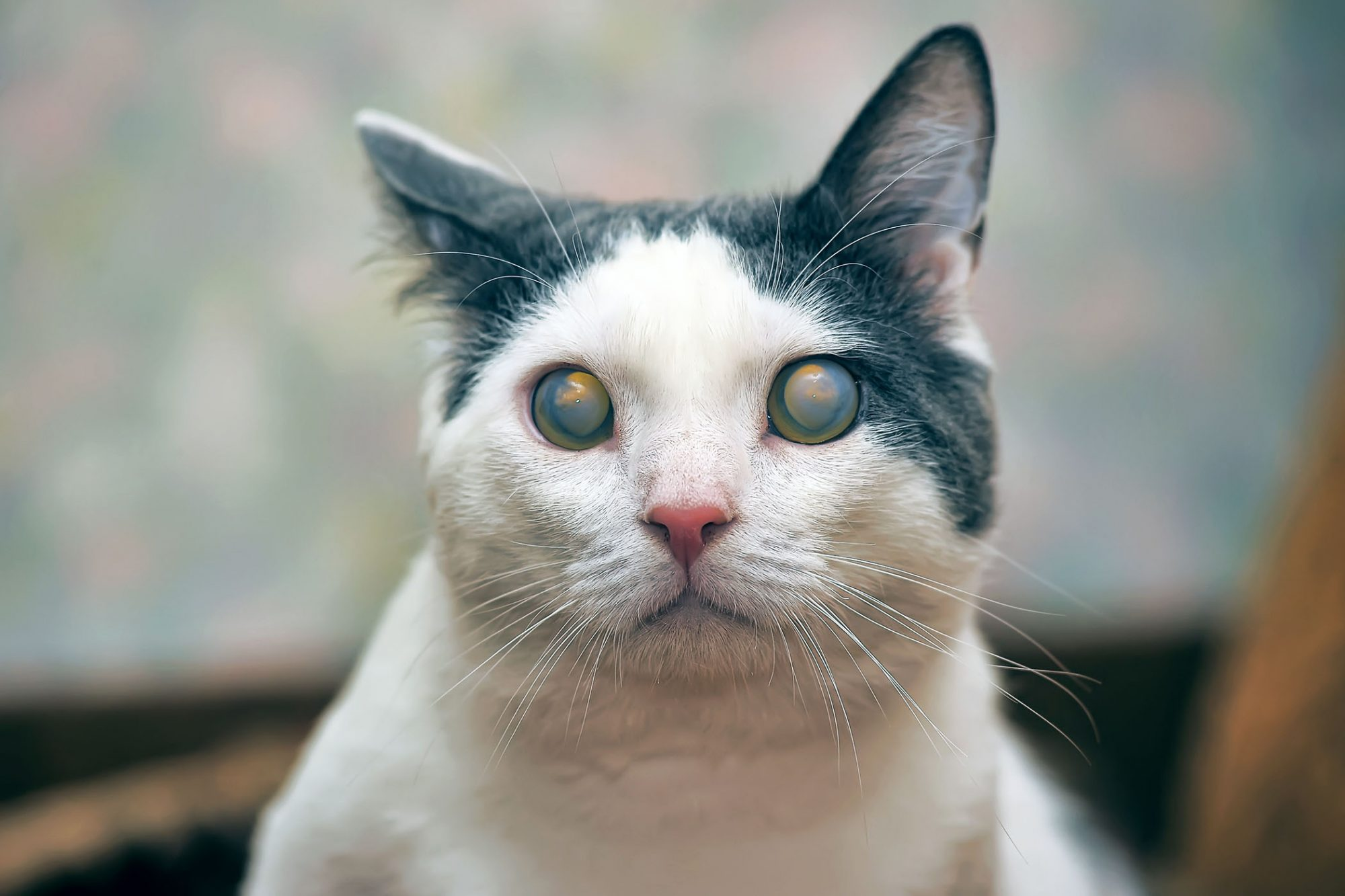 cat with cataracts