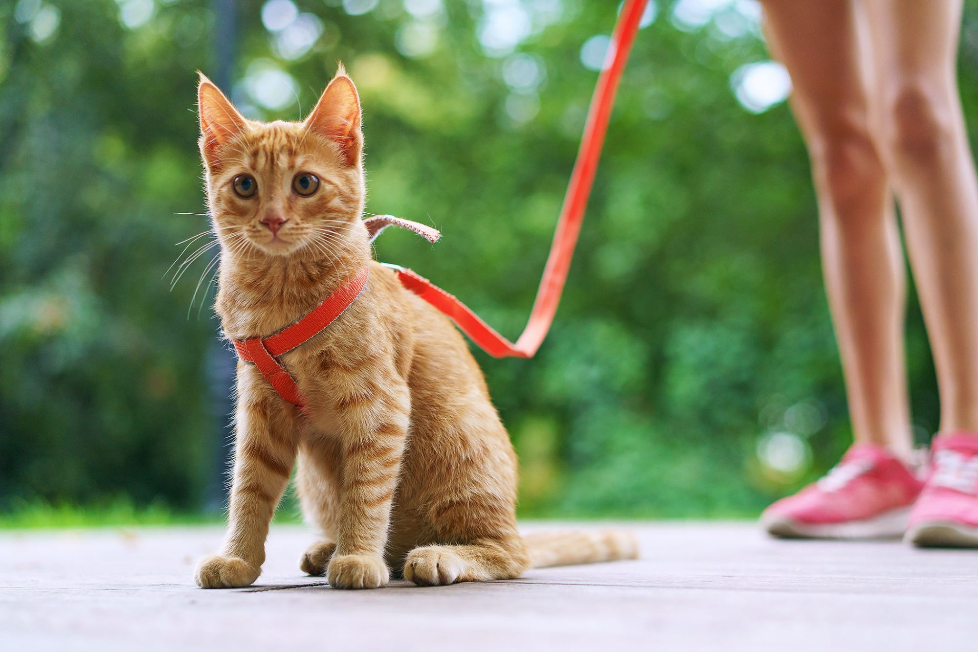 girl walking cat with harness