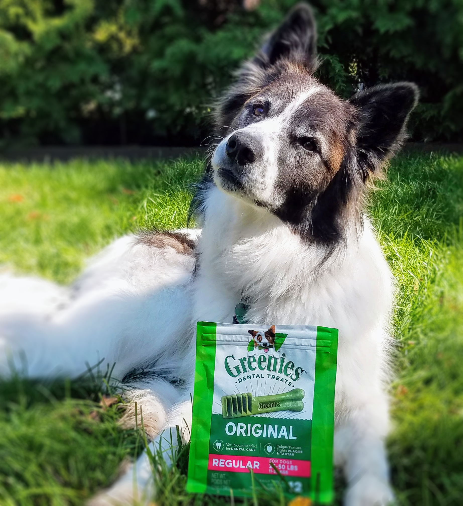 dog in grass with Greenies dental treats