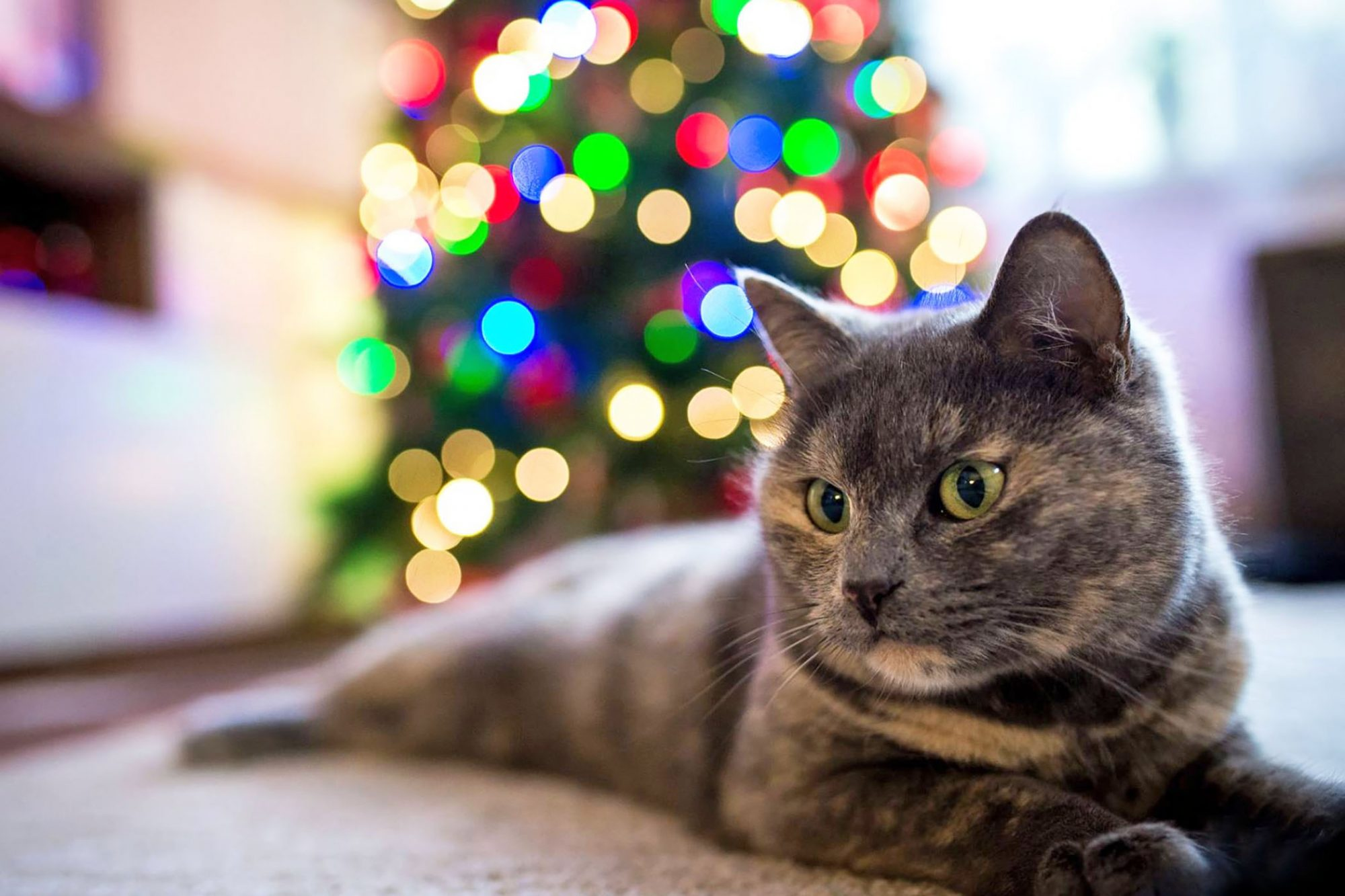 cat in front of Christmas tree
