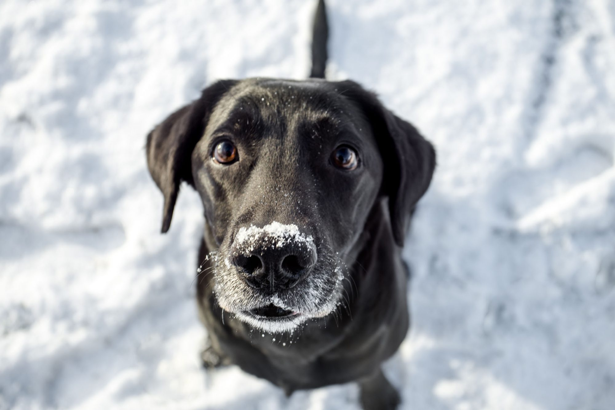 black lab in snow