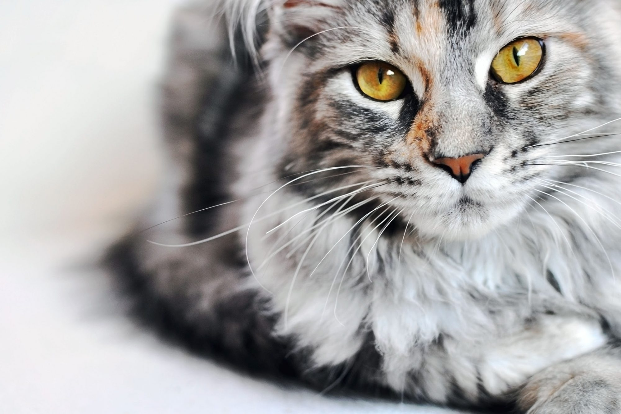 Silver Maine Coon cat