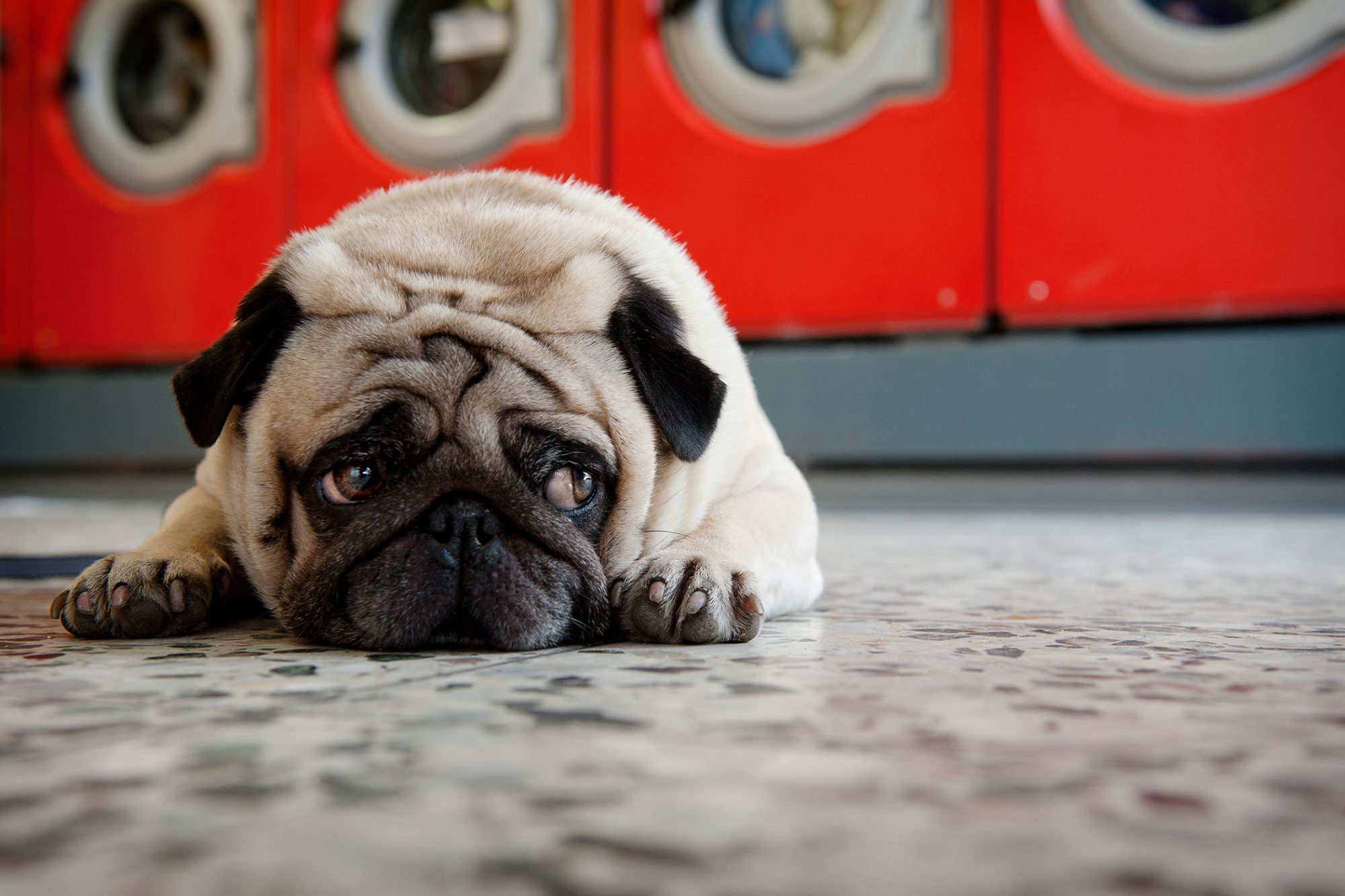 worried pug on floor