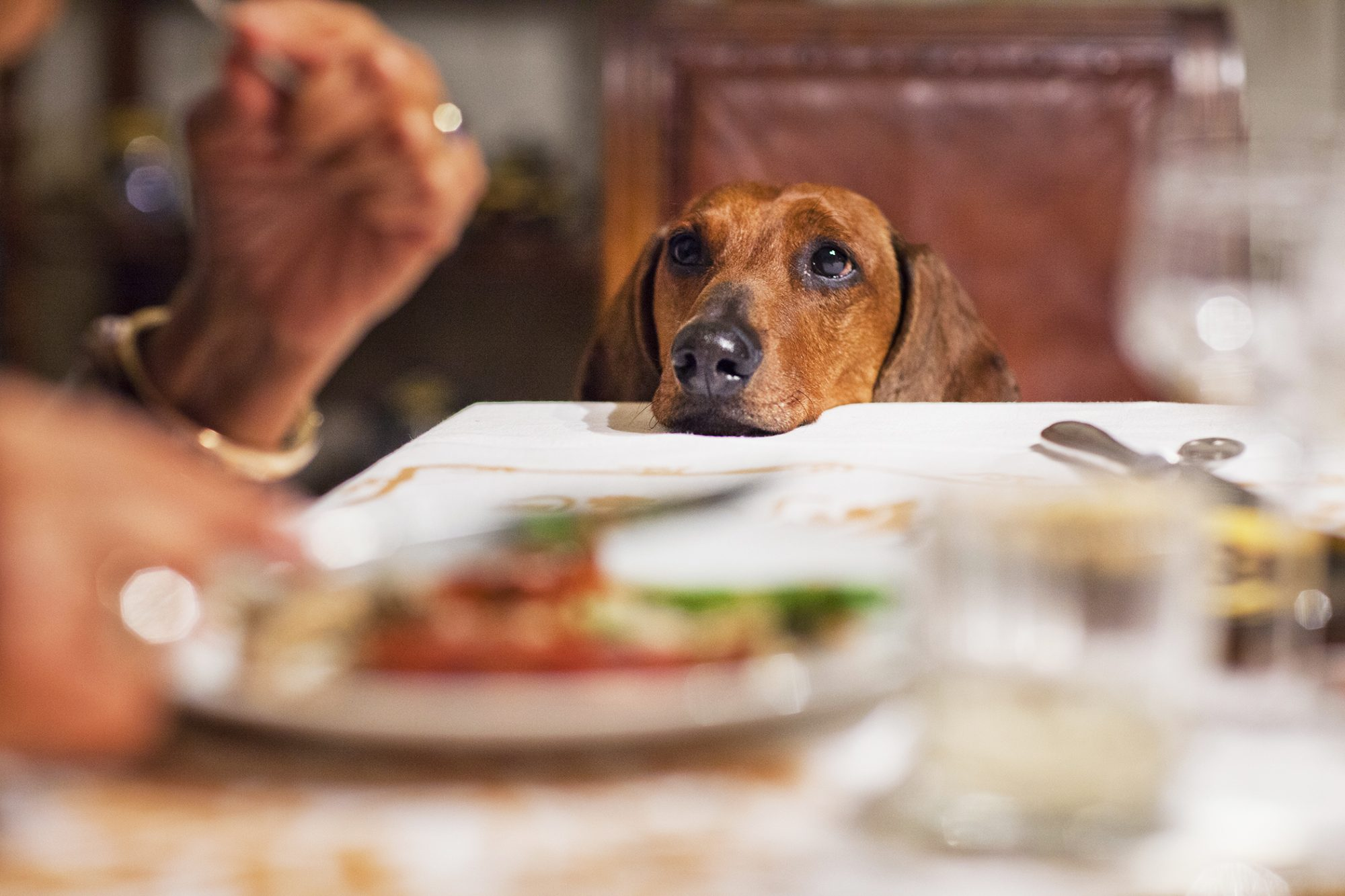dog at Thanksgiving dinner